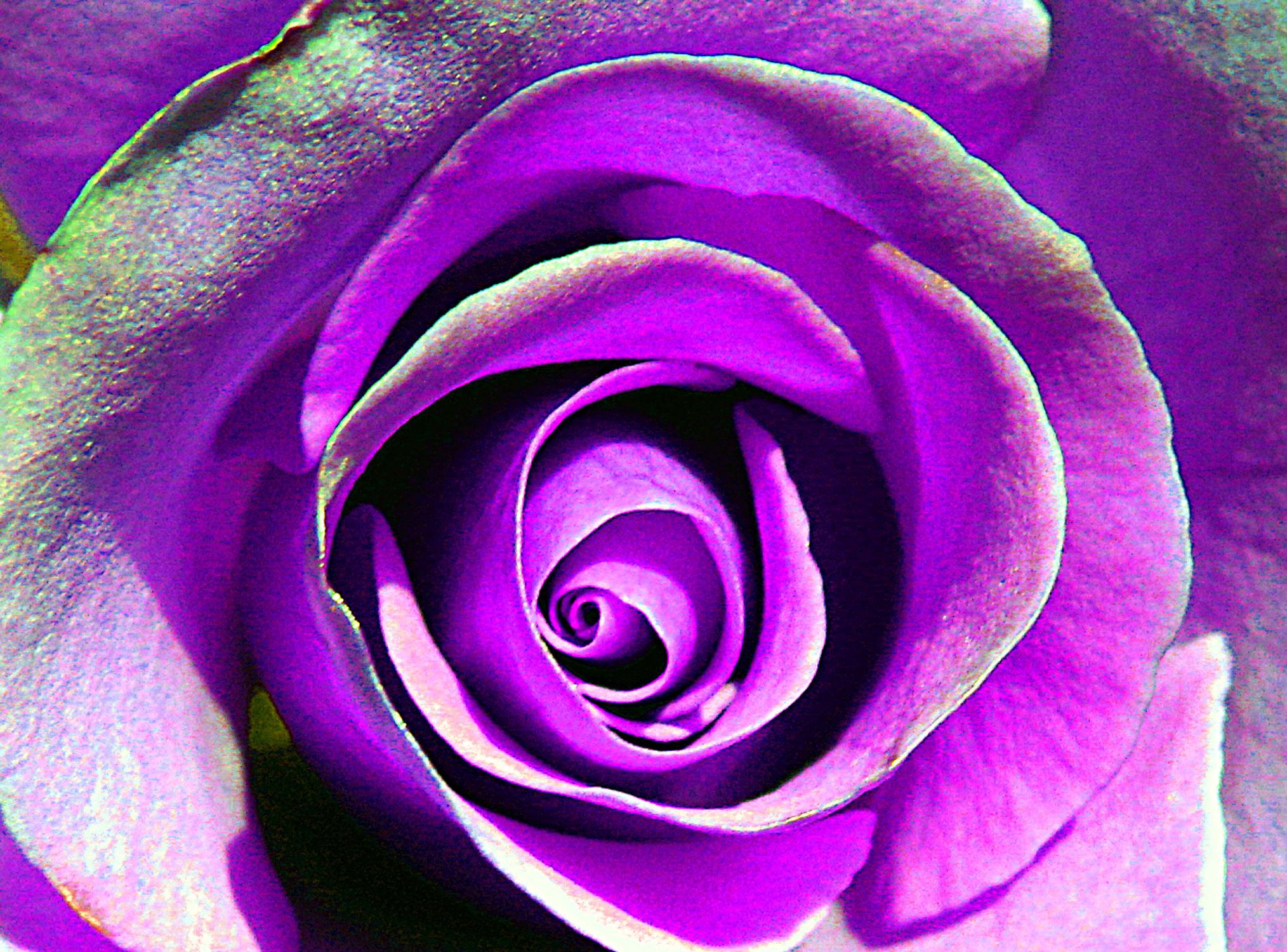 Bild mit Pflanzen, Rosa, Violett, Frühling, Rosen, Sommer, Pflanze, Rose, romantik, Schönheit, Blüten, blüte, frühjahr, Liebe