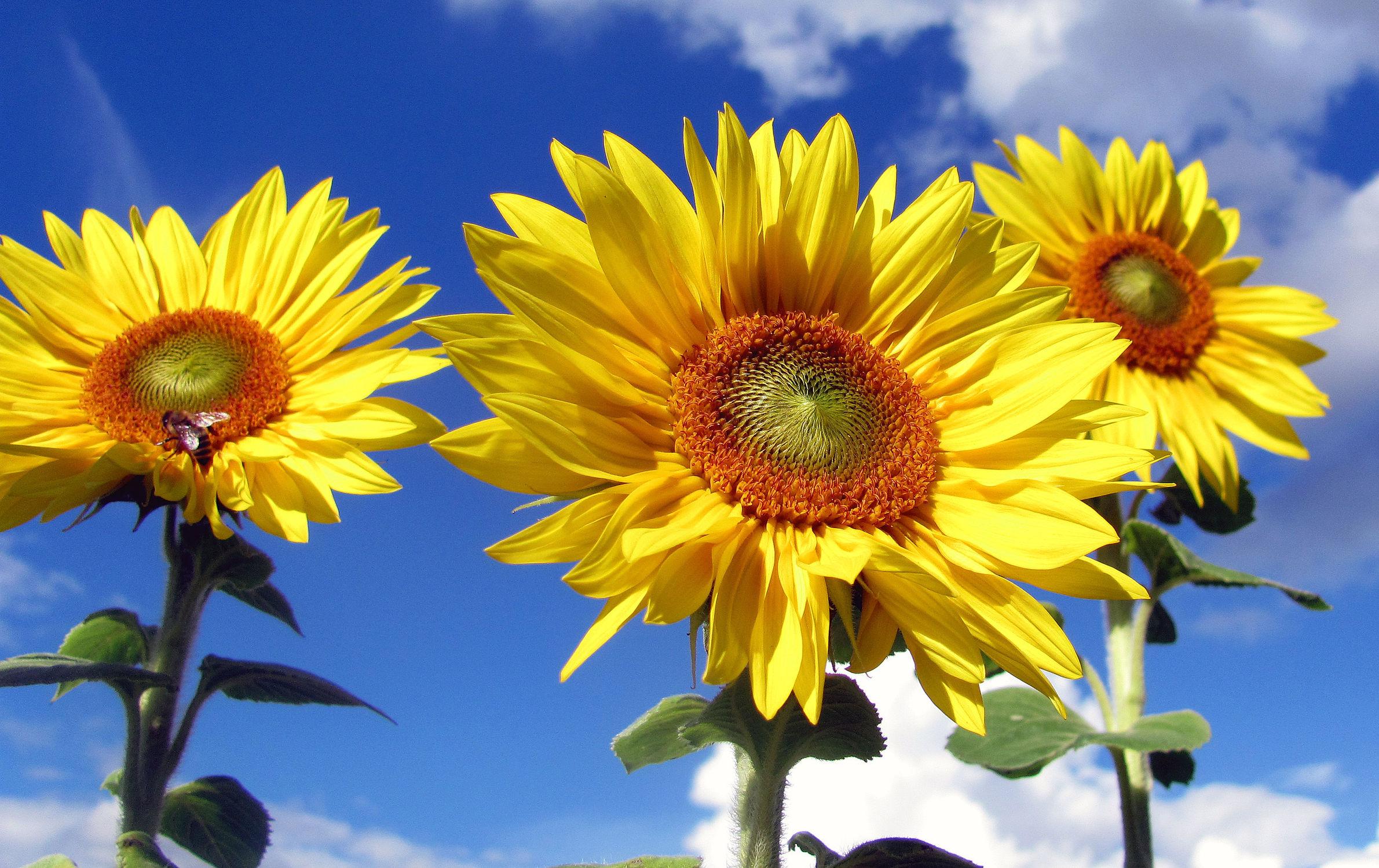 Bild mit Pflanzen, Blumen, Sonnenblumen, Blume, Sonnenblume, Blüten, blüte