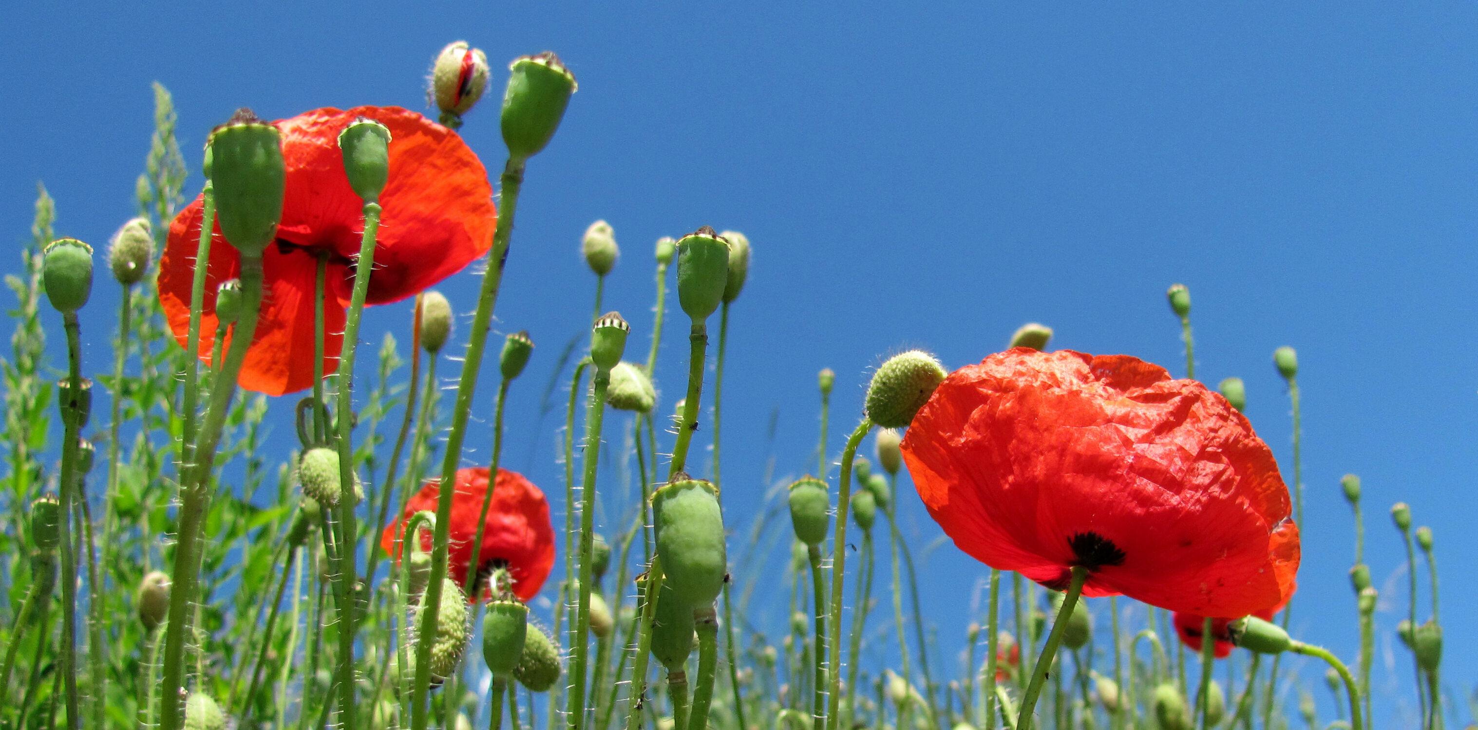 Bild mit Mohn, Mohnblume, Mohnfeld, Feld, Blüten, Mohnblumen, Mohnfelder, mohnblüten