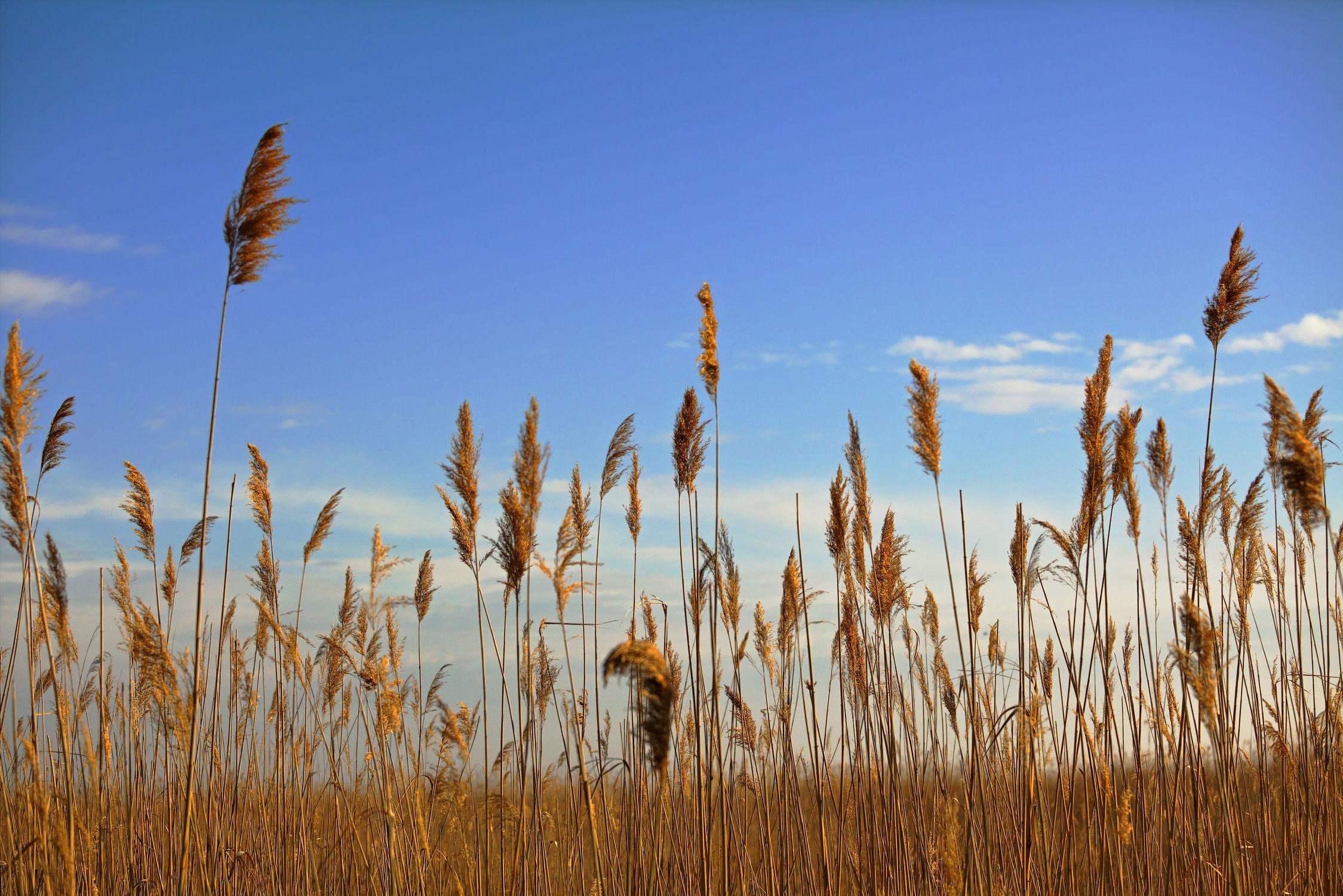 Bild mit Natur, Pflanzen, Gräser, Schilf, Pflanze, Nature, Gras, Feld, Felder, Weide, Weiden, hafer