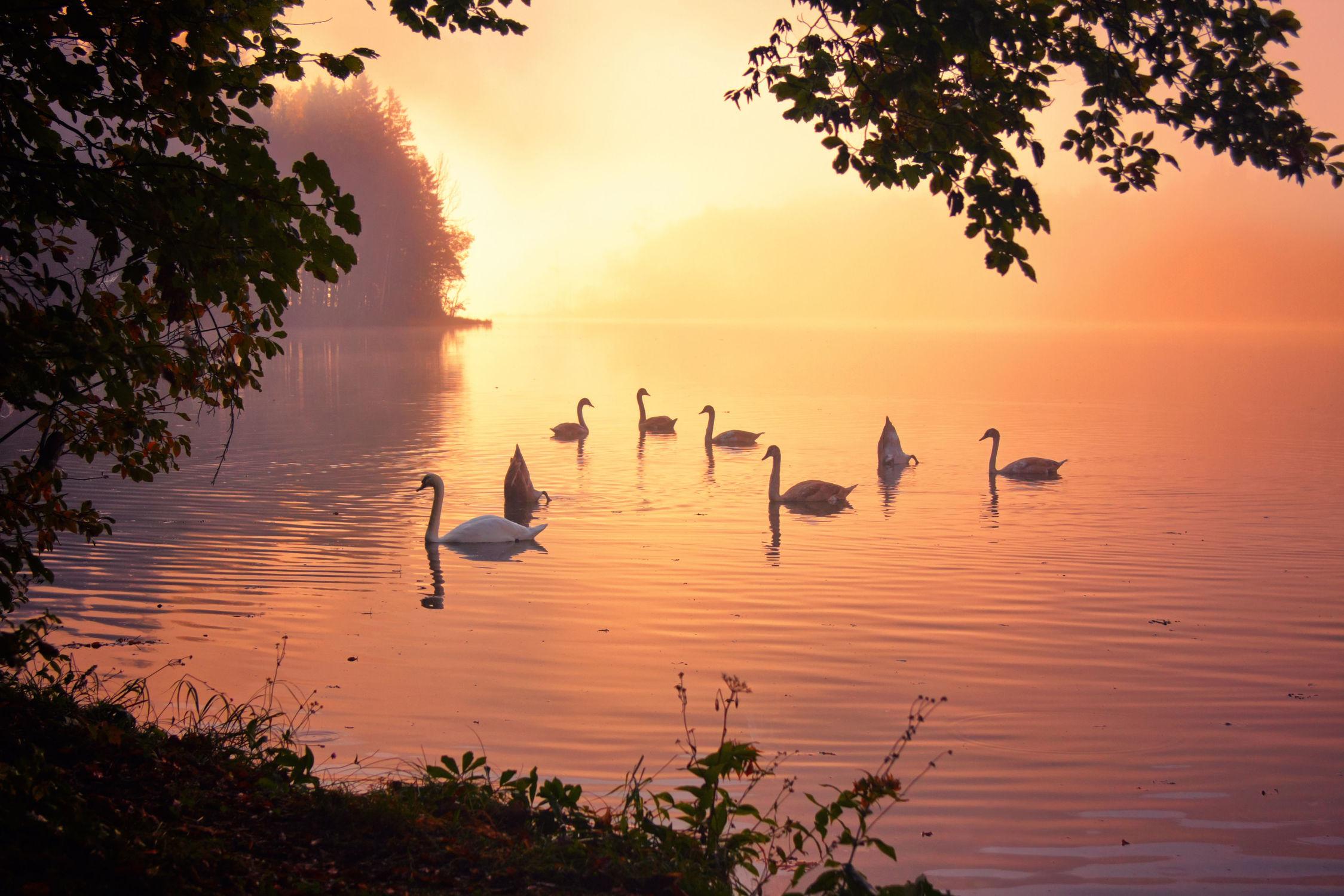 Bild mit Tiere, Natur, Wasser, Gewässer, Sonnenuntergang, Sonnenaufgang, Vögel, Schwäne, Tier, See, schwan