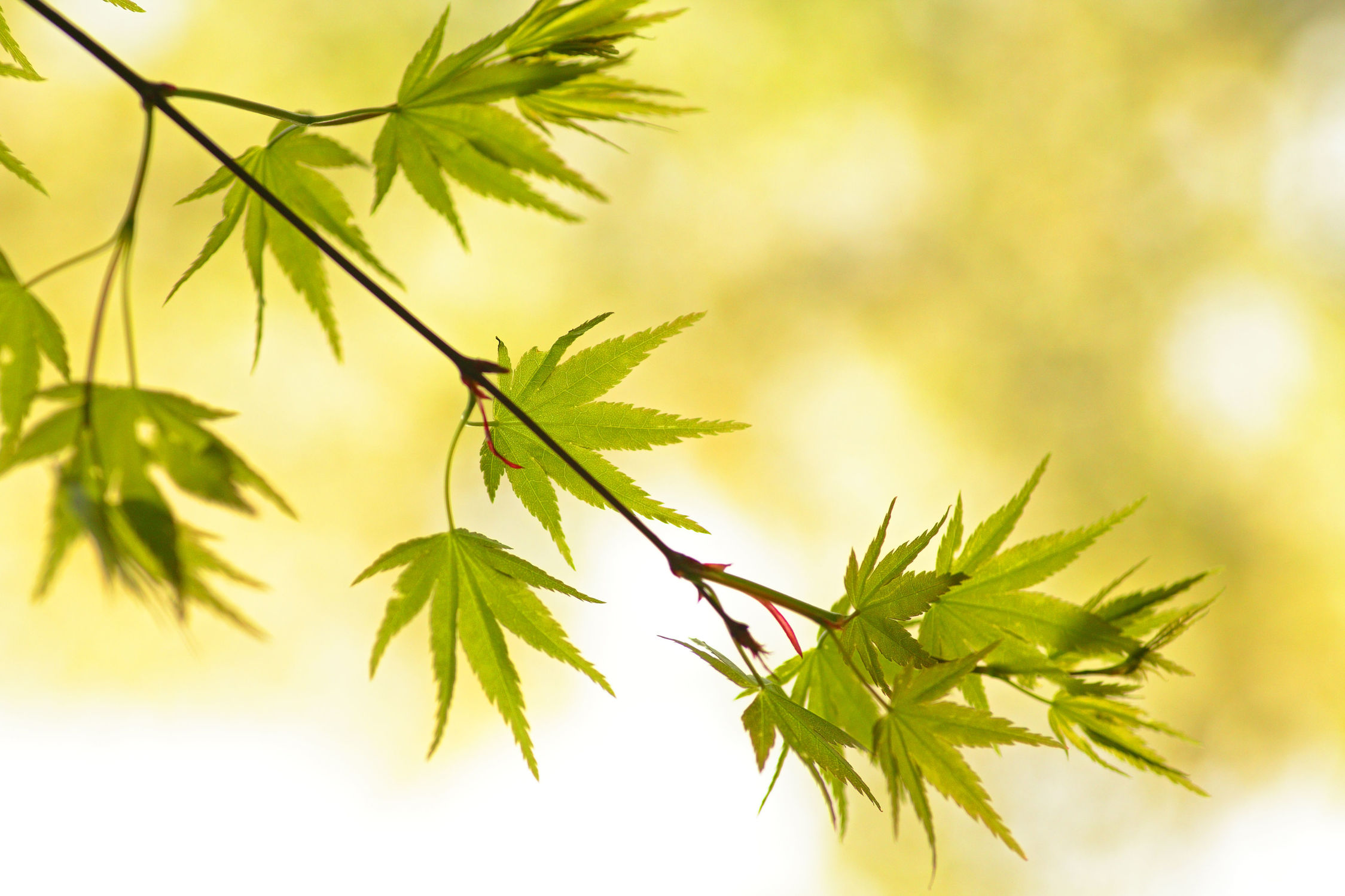 Bild mit Natur, Grün, Baum, Pflanze, frisch, Ast, Leben, Ahorn