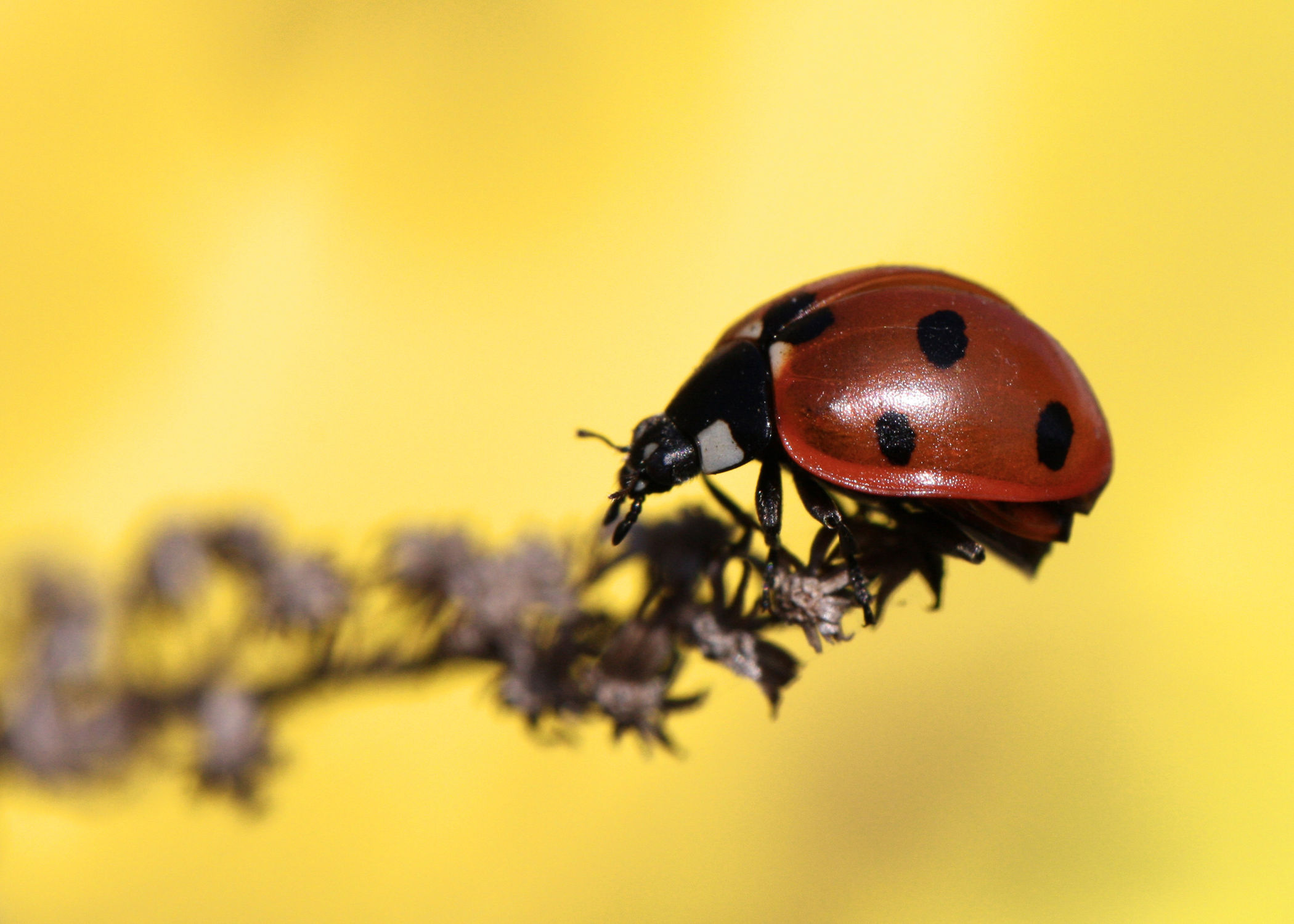 Bild mit Blumen, Frühling, Insekten, Blume, blue, Marienkäfer, Blüten, frühjahr, Insekt, Käfer