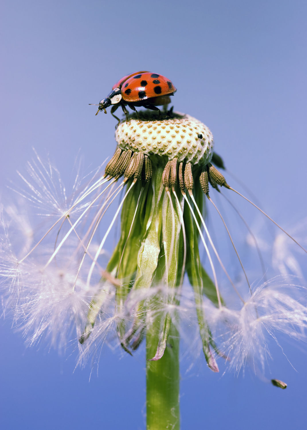 Bild mit Blumen, Frühling, Insekten, Blume, blue, Löwenzahn, Pusteblume, Marienkäfer, Blüten, Pusteblumen, frühjahr, Insekt, Käfer