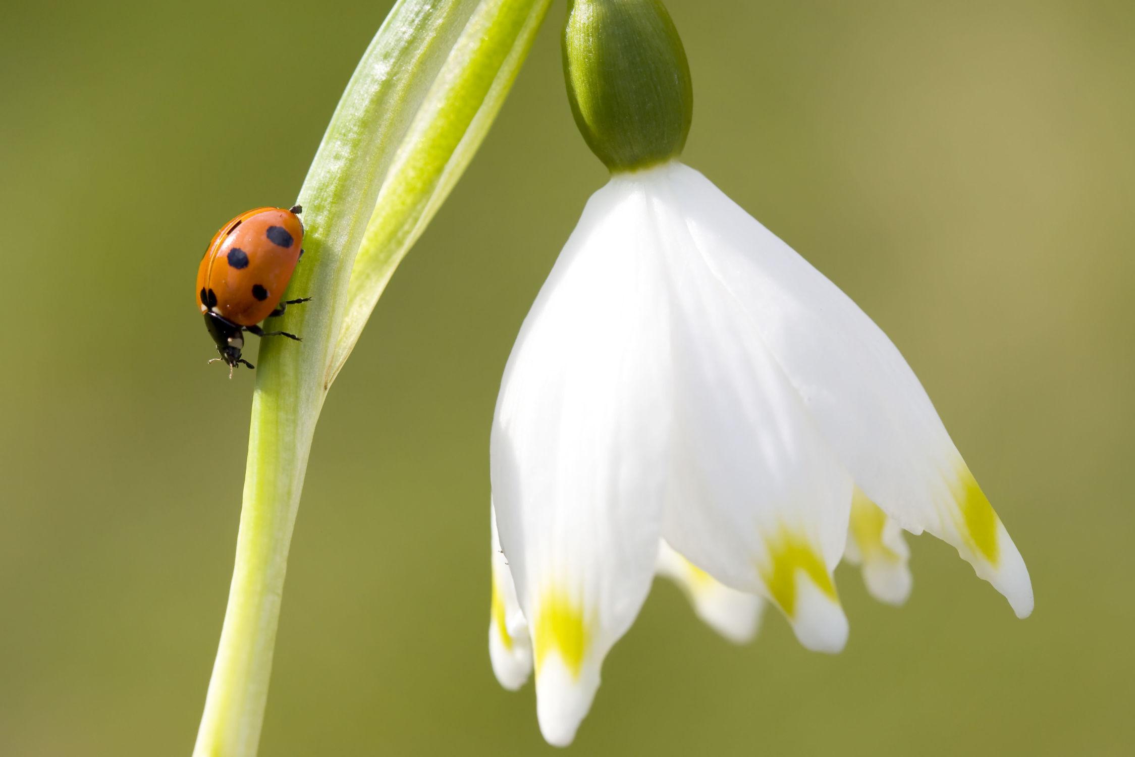 Bild mit Blumen, Insekten, Blume, Marienkäfer, Blüten, blüte, Insekt, Käfer, Märzenbecher