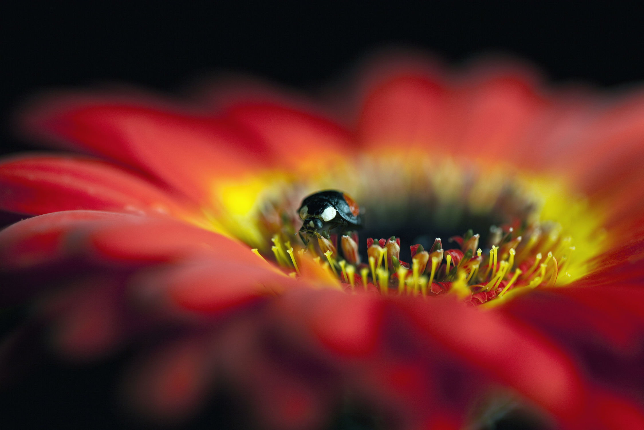 Bild mit Blumen, Frühling, Gerberas, Blume, Gerbera, blue, Marienkäfer, Blüten, frühjahr, Käfer, gerberablüten