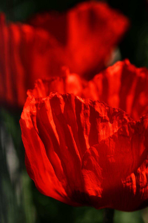 Bild mit Blumen, Blumen, Mohn, Blume, Mohnblume, Poppy, Poppies, Mohnfeld, Mohnblumen