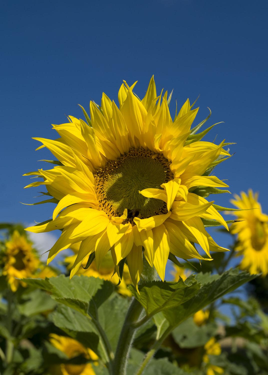 Bild mit Pflanzen, Blumen, Sonnenblumen, Blume, Pflanze, Sonnenblume, Blüten, blüte