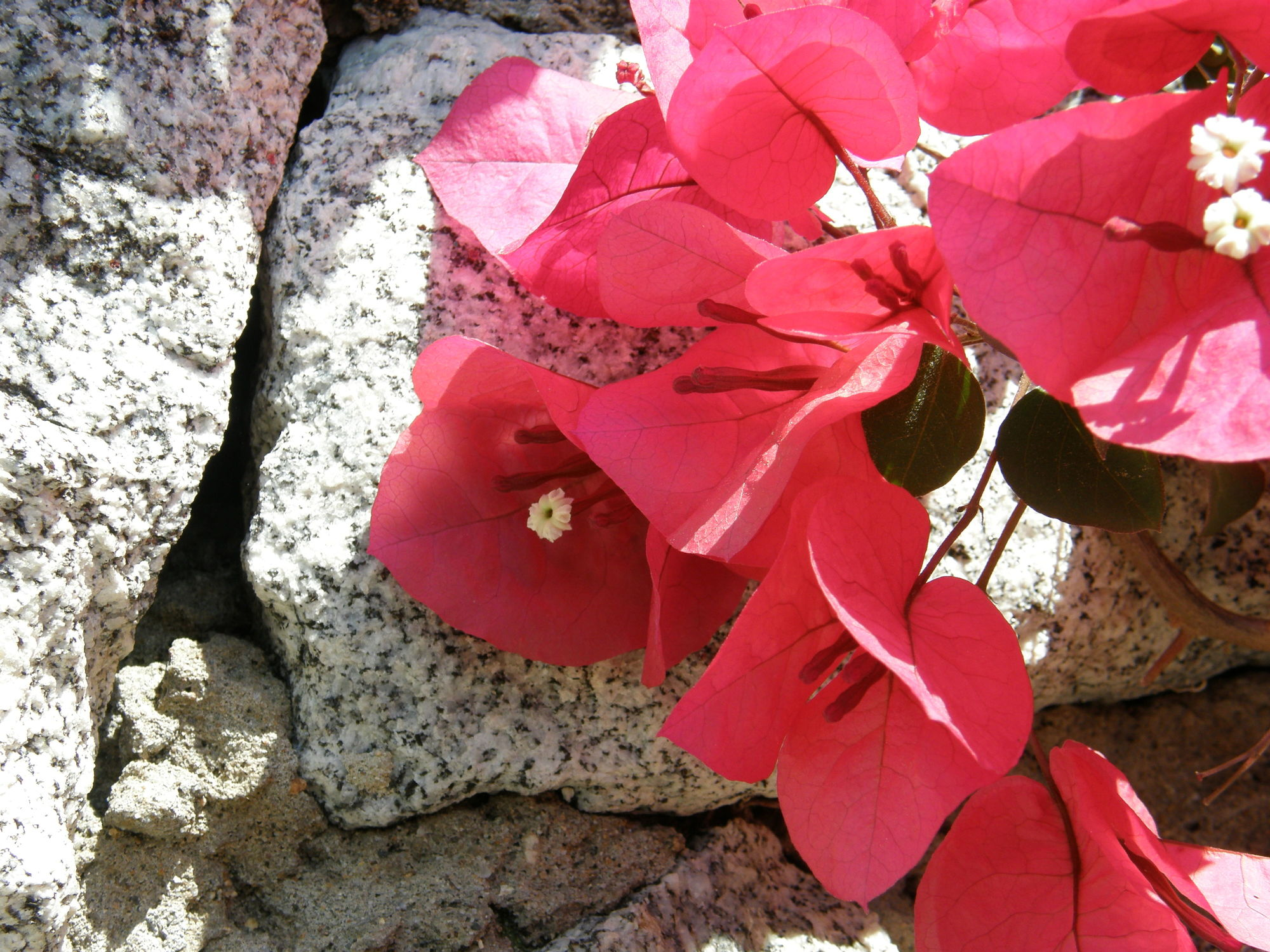 Bild mit Pflanzen, Blumen, Blume, Pflanze, Blütenzauber, Blüten, blüte, mauerblümchen