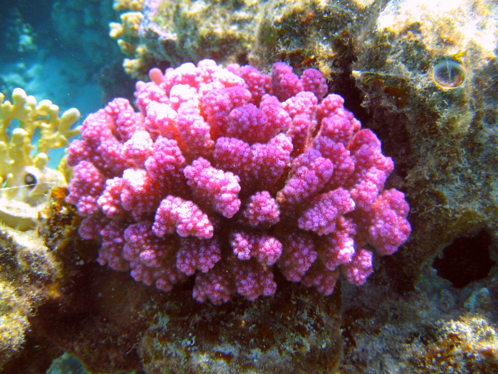 Bild mit Korallen, Am Korallenriff, rotes Meer, koralle, riff