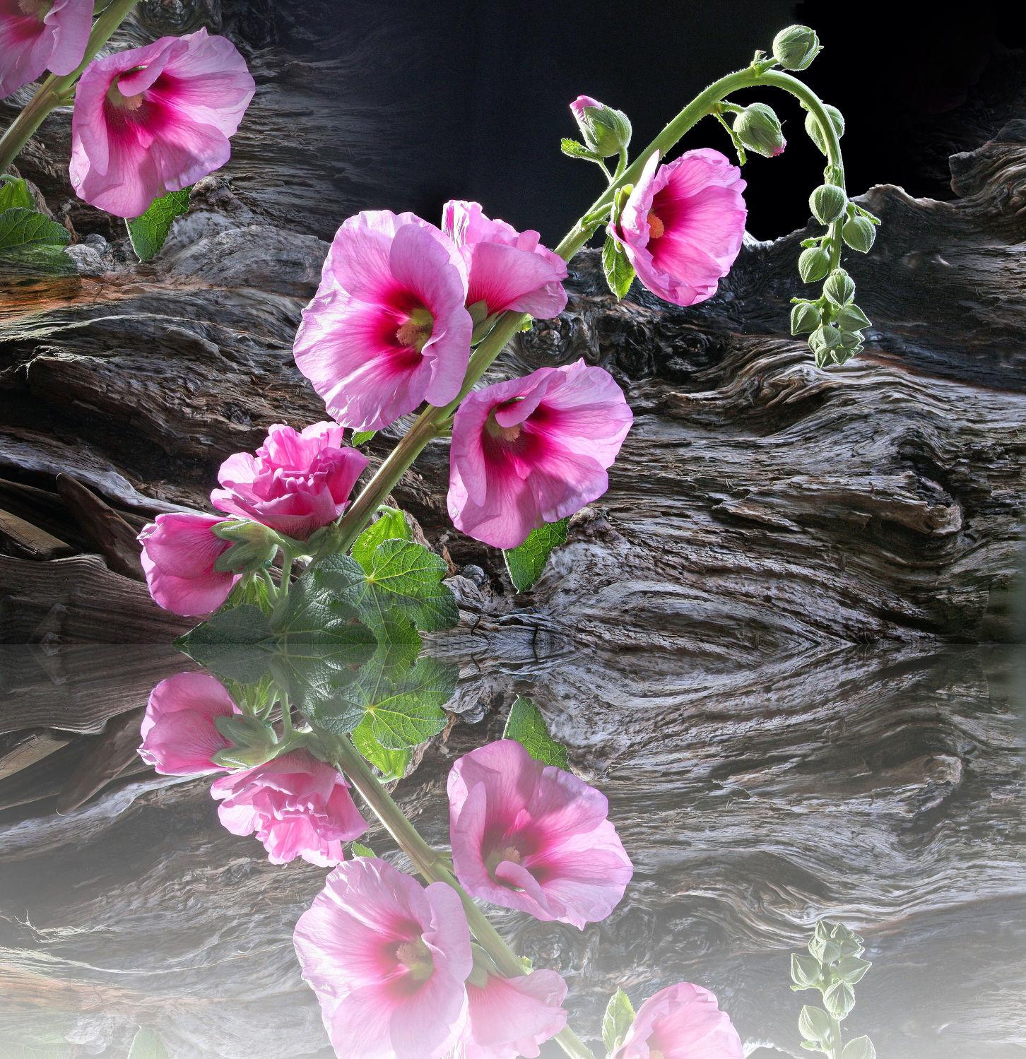 Bild mit Natur, Reflexion, Blumen, Rosen, Landschaft, Blume, Rose, Spiegelung, Floral, Stilleben, Blüten, Florales, blüte, Gebirge