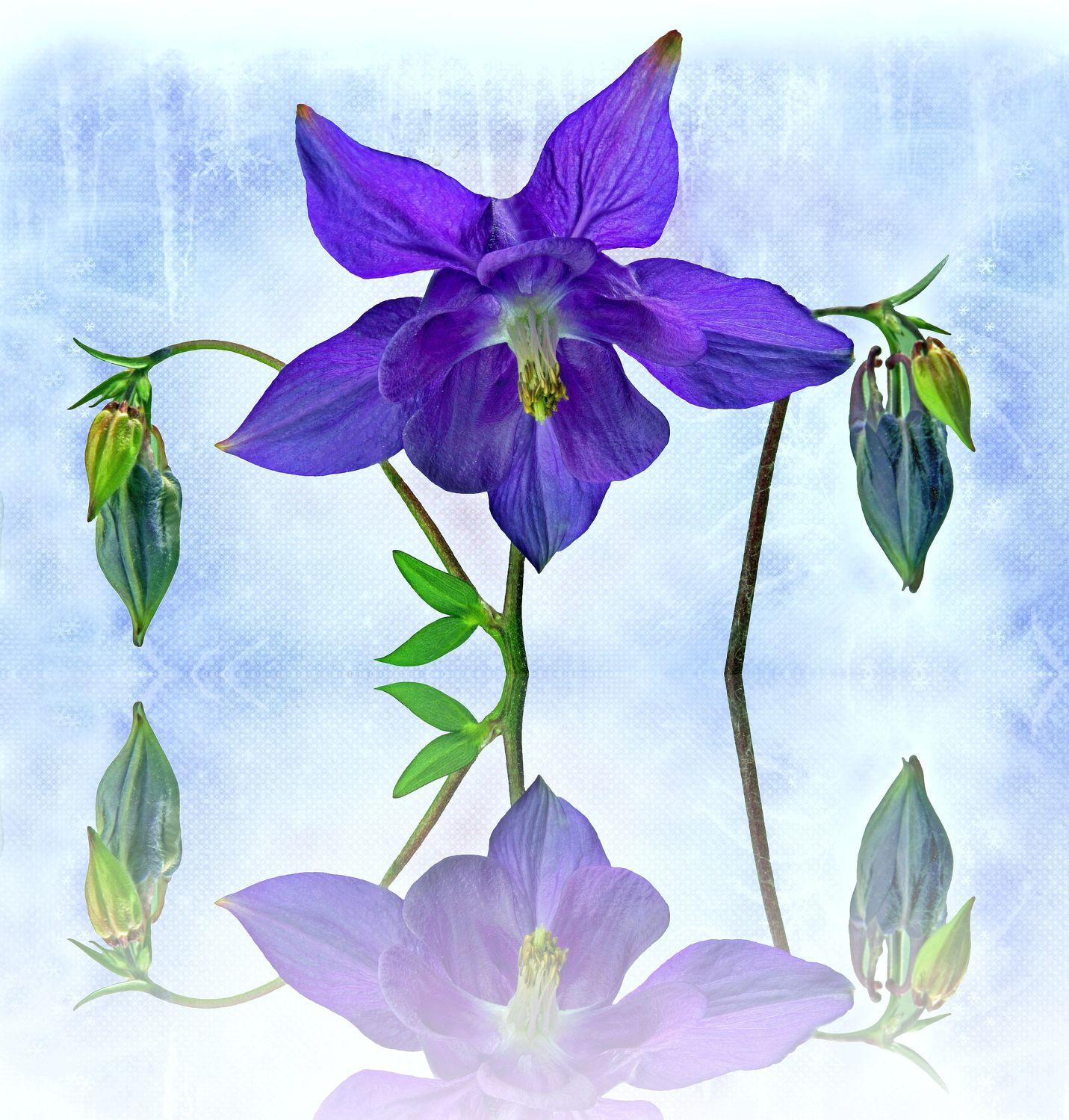 Bild mit Pflanzen, Reflexion, Blumen, Blume, Pflanze, Spiegelung, Floral, Stilleben, Blüten, Florales, Textur, blüte, Akelei