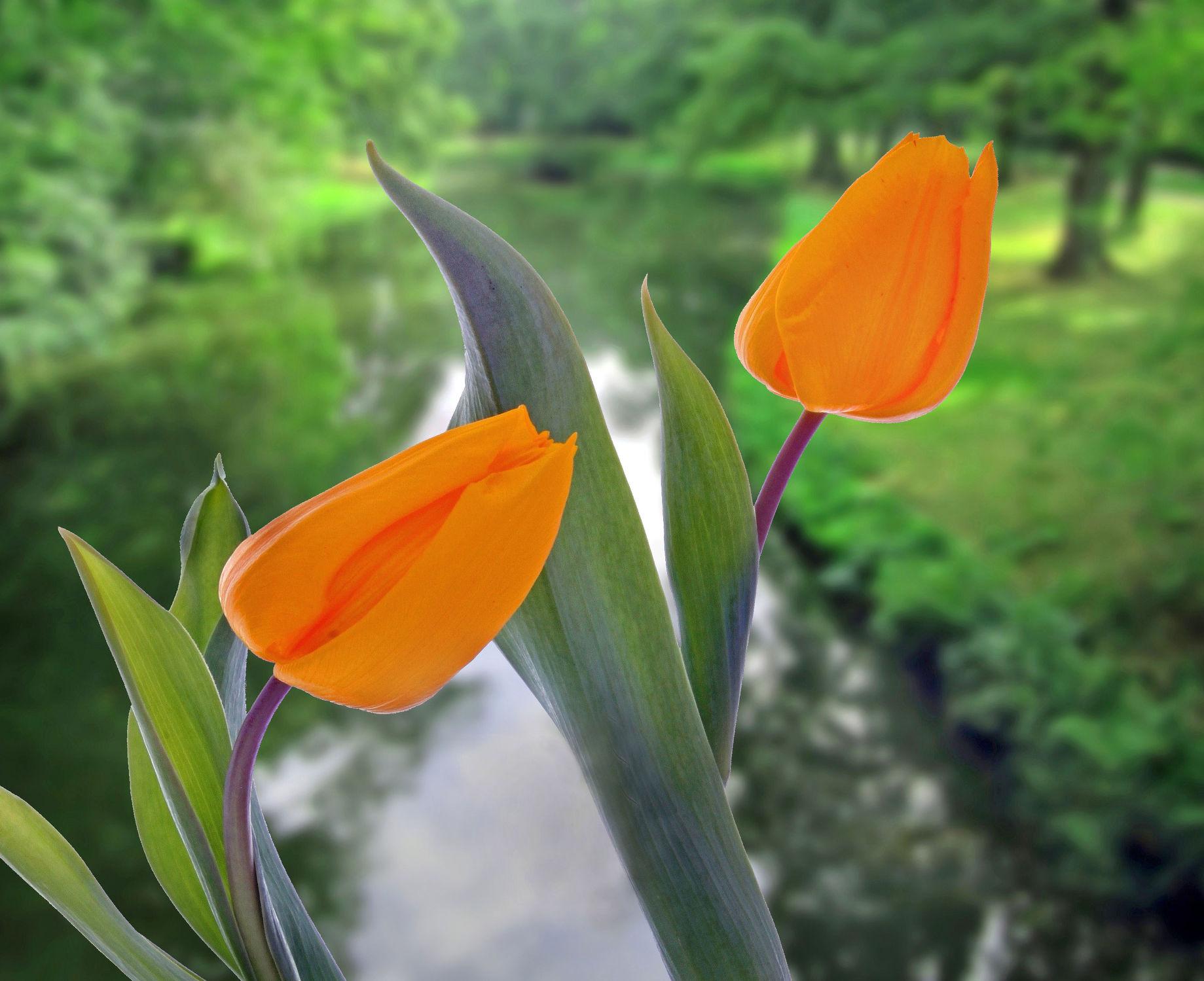 Bild mit Kunst, Wasser, Pflanzen, Bäume, Gewässer, Frühling, Baum, Pflanze, Tulpe, Tulpen, Bach, Park, Floral, Stilleben, Blüten, Florales, garten, blüte, Fluss, Ufer, Wasserspiegelung