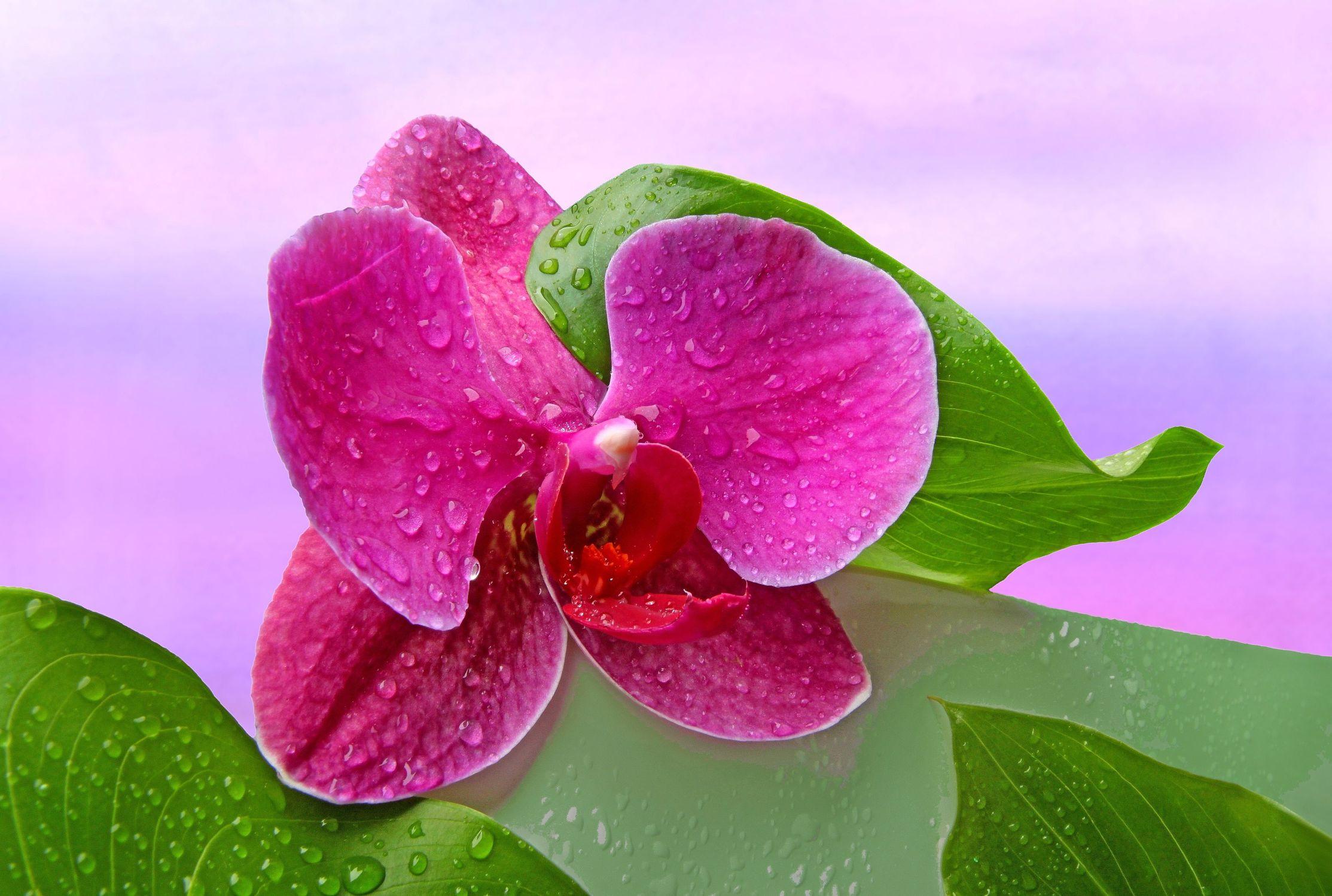 Bild mit Pflanzen, Blumen, Orchideen, Blätter, Blume, Orchidee, Pflanze, Blatt, Wassertropfen, Stilleben, Blüten, Wellness, Textur, blüte, dekorativ, Dekoration