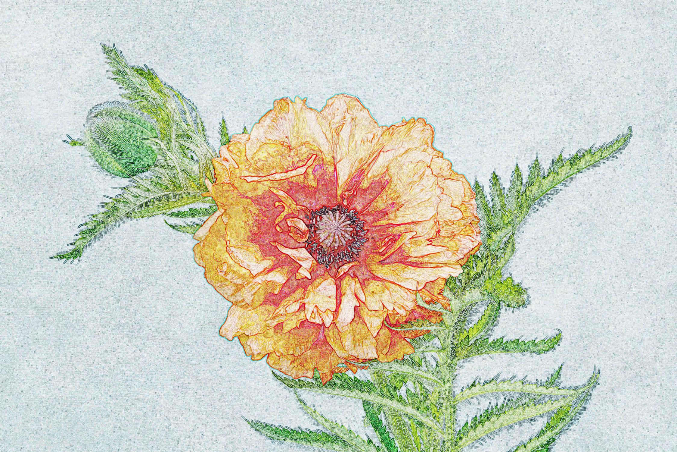 Bild mit Pflanzen, Pflanze, Mohnblüte, Floral, Stilleben, Blüten, Florales, blüte, Grafik, zart, dekorativ, Dekoration, grafisch, weich, mohnblüten