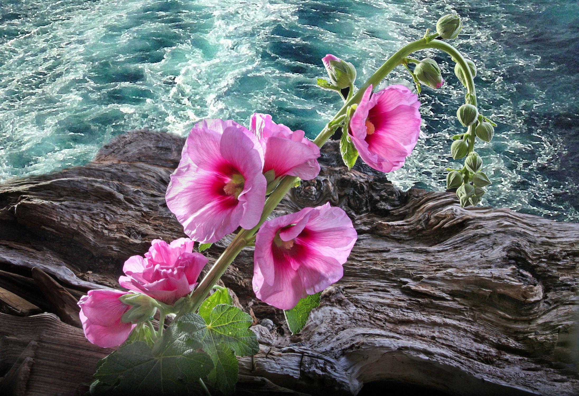Bild mit Wasser, Pflanzen, Blumen, Rosen, Meer, Blume, Pflanze, Rose, See, Floral, Stilleben, Blüten, Florales, blüte, dekorativ, Dekoration, stockrose, stockrosen