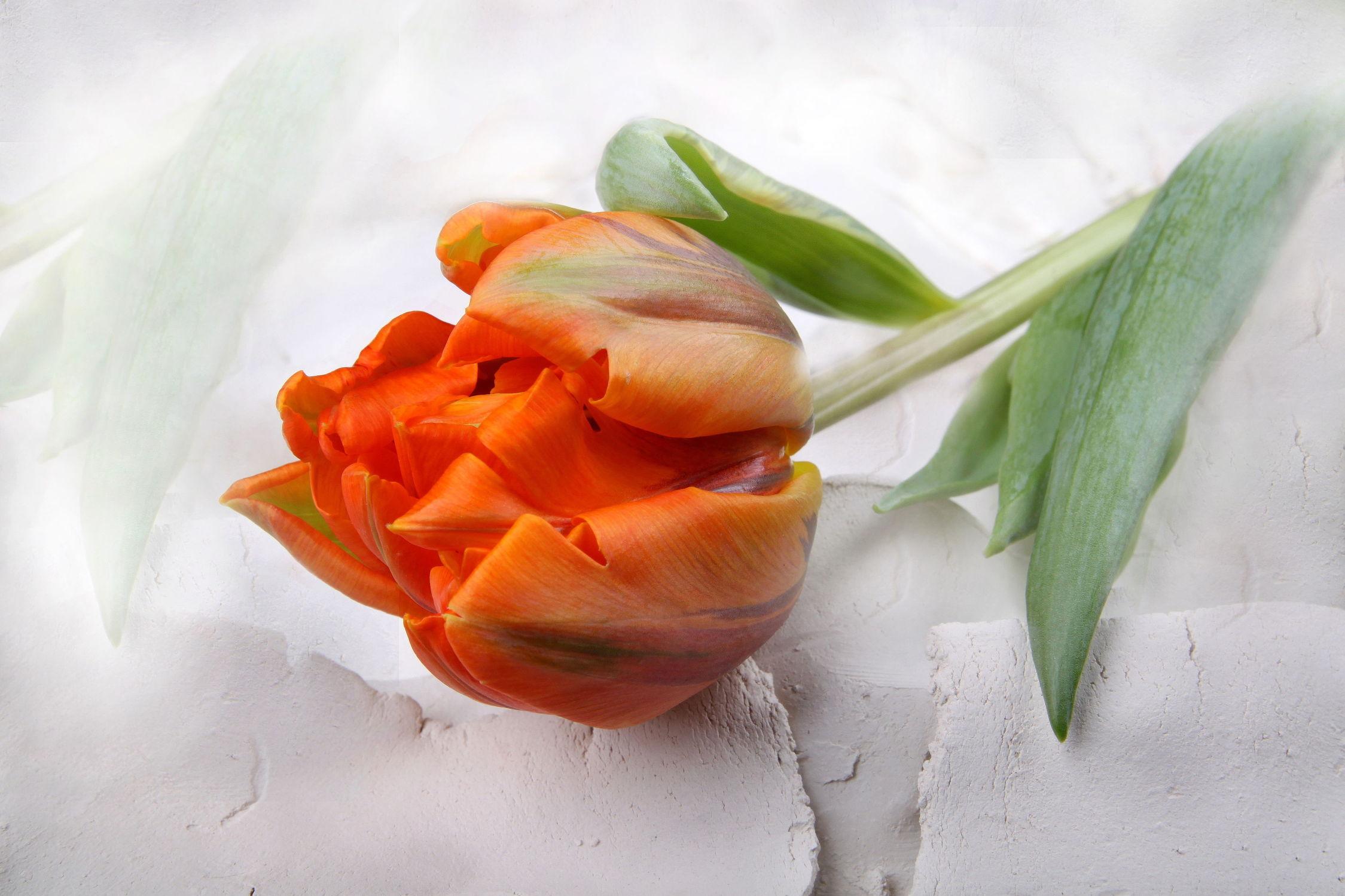 Bild mit Blumen, Blume, Tulpe, Tulpen, Fauna, Floral, Flora, Stilleben, Florales