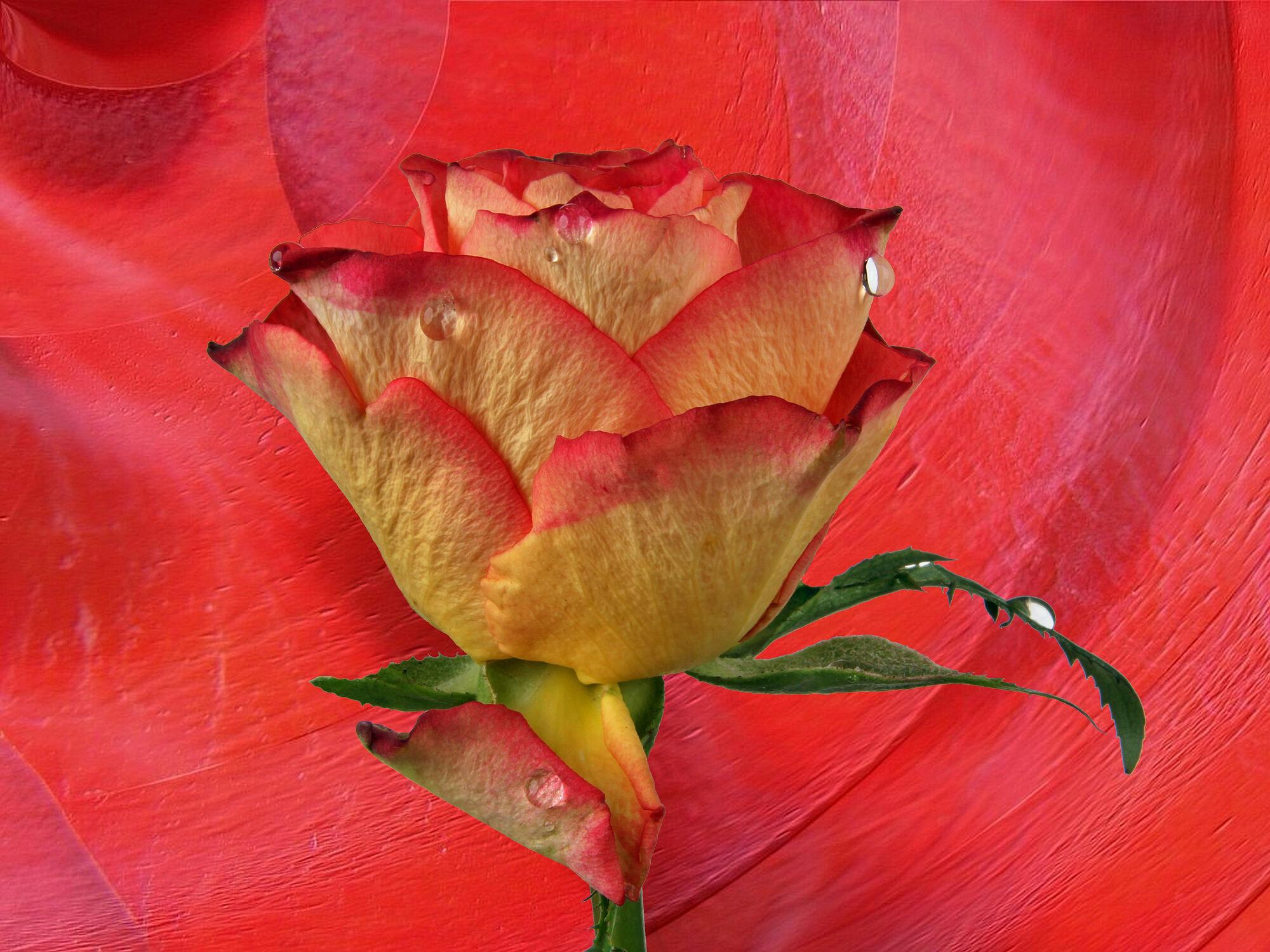 Bild mit Blumen, Rot, Rosen, Blätter, Blume, Rose, Blatt, Wassertropfen, Floral, Stilleben, Blüten, Florales, Textur, blüte, romantisch