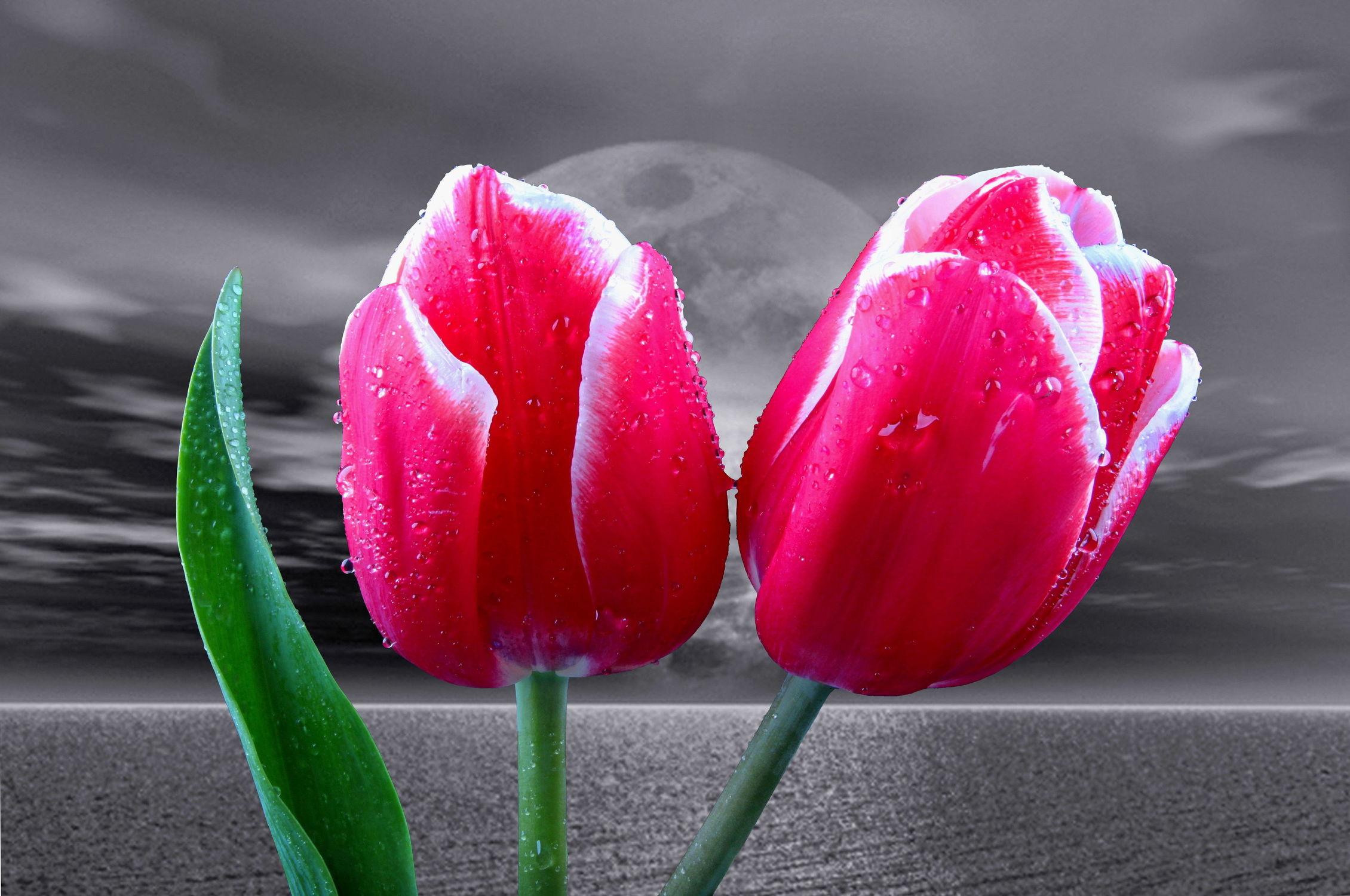 Bild mit Wasser, Blumen, Sonne, Blume, Tulpe, Tulpen, Wassertropfen, Floral, Blüten, Florales, blüte