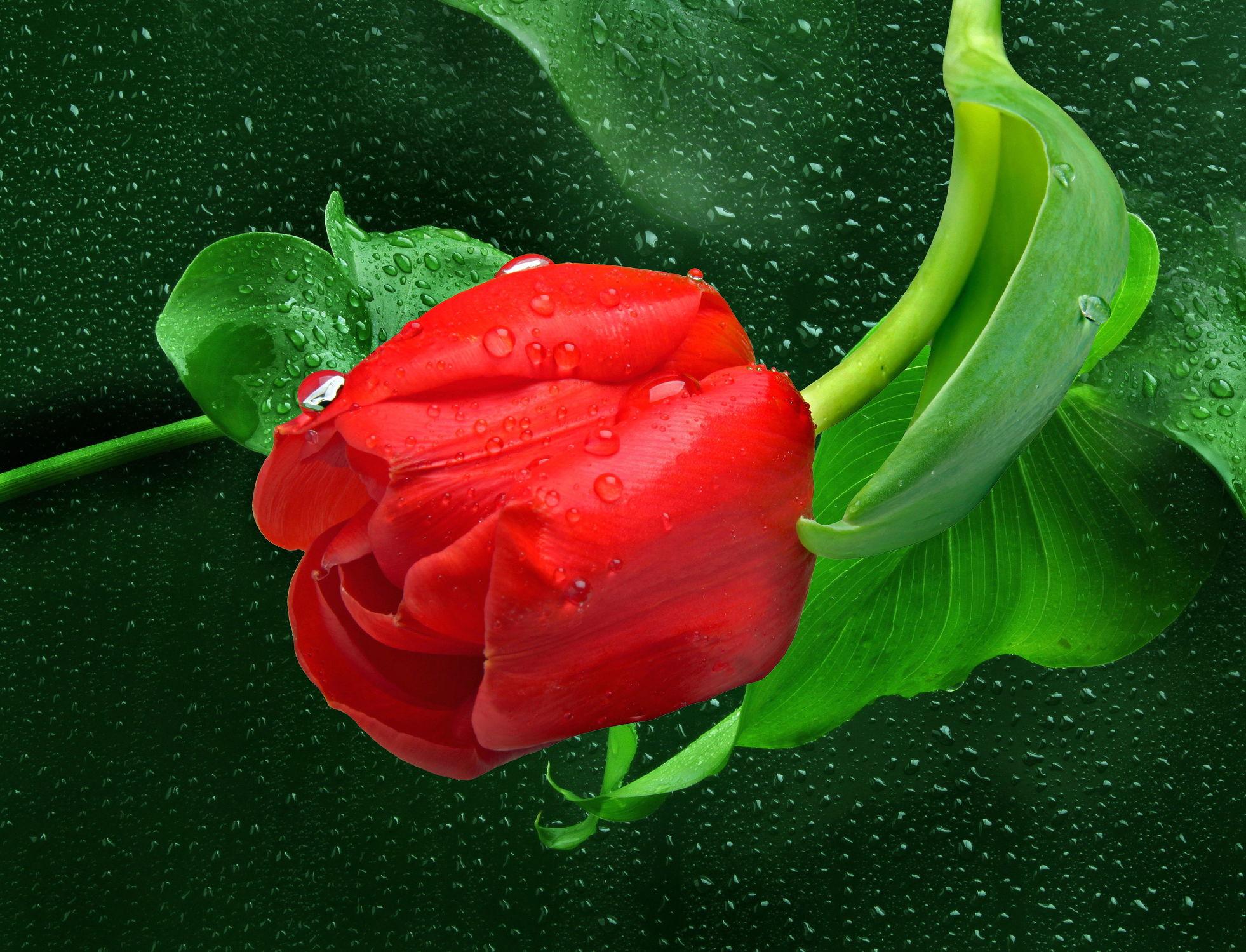 Bild mit Blumen, Blätter, Blume, Pflanze, Tulpe, Tulpen, Wassertropfen, Floral, Florales, blüte