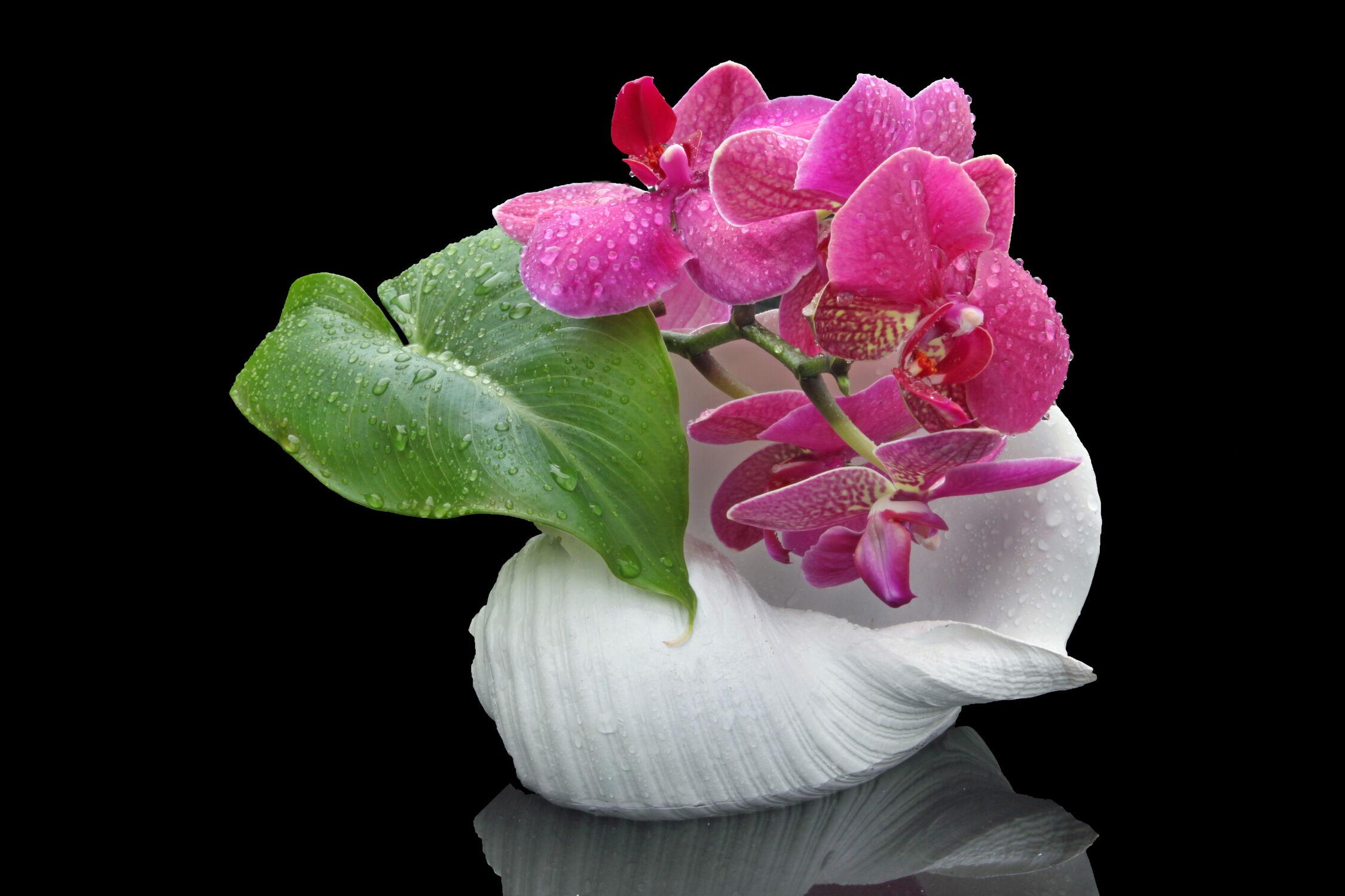 Bild mit Orchideen, Blume, Orchidee, Pflanze, Muschel, Wassertropfen, Floral, Stilleben, Florales, blüte