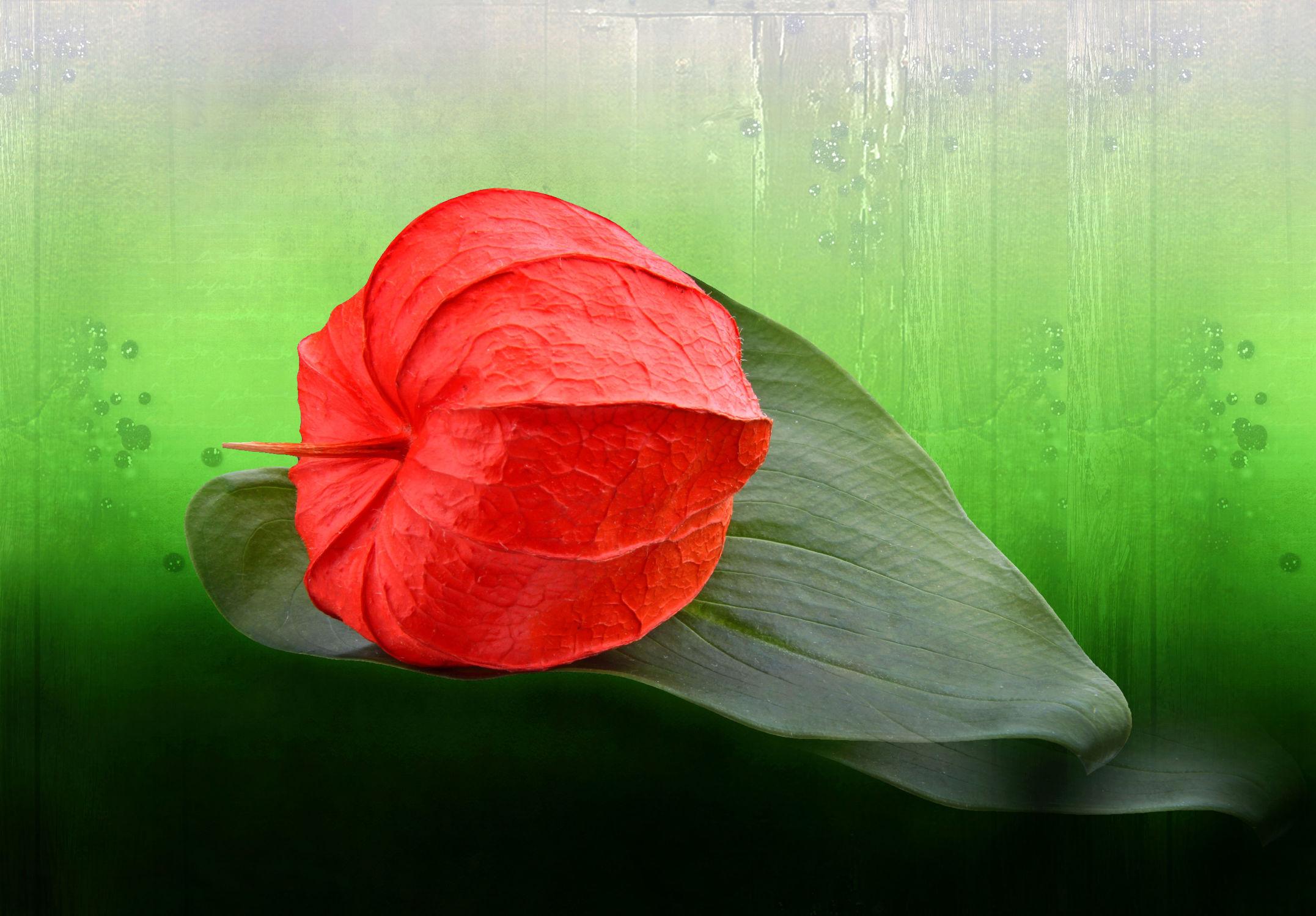 Bild mit Rot, Blume, Pflanze, Blatt, Floral, Blüten, Florales, Textur, blüte, lampions, lampion