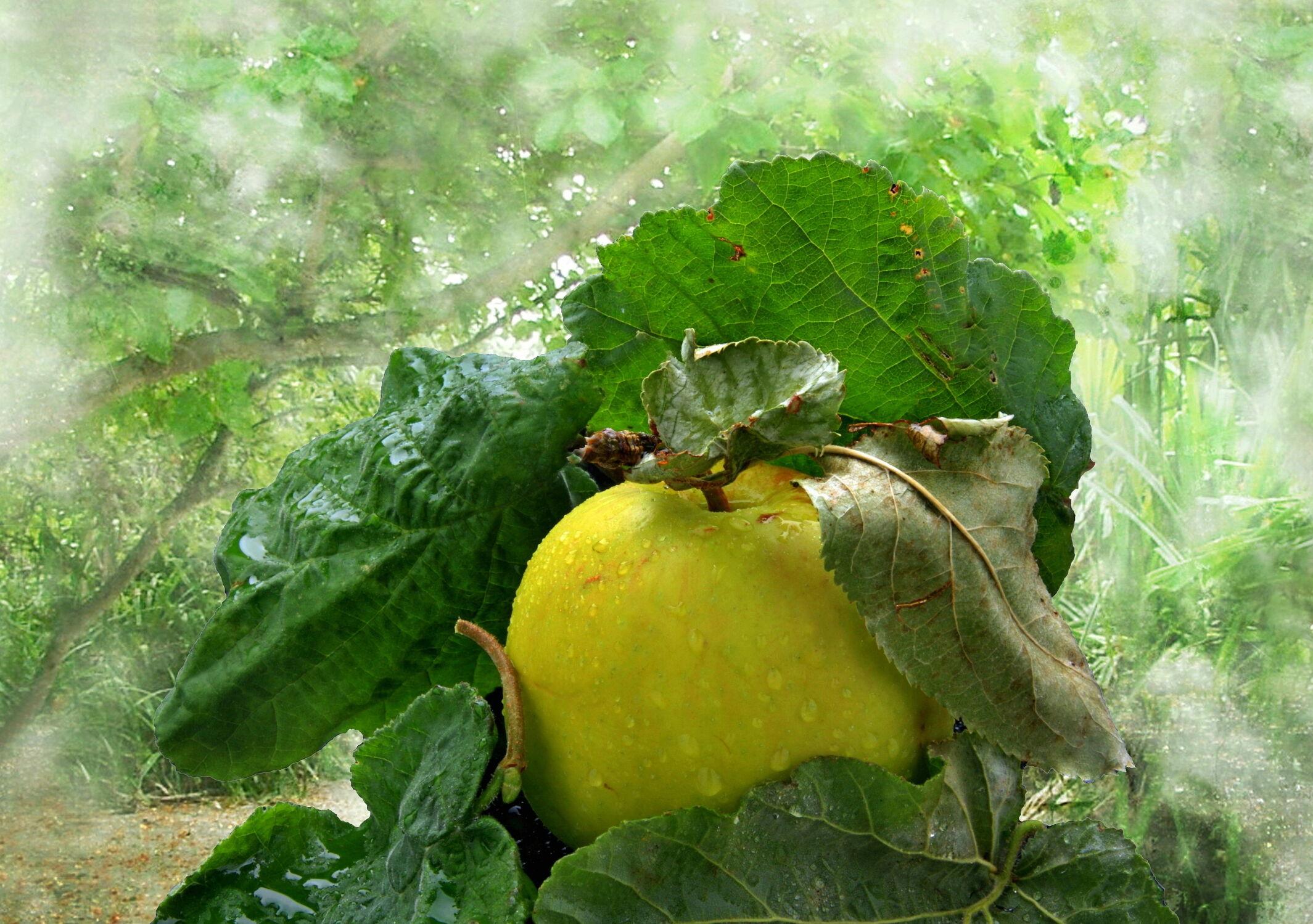 Bild mit Natur, Früchte, Herbst, Nebel, Wald, Blätter, Frucht, Obst, Apfel, Apfel, garten