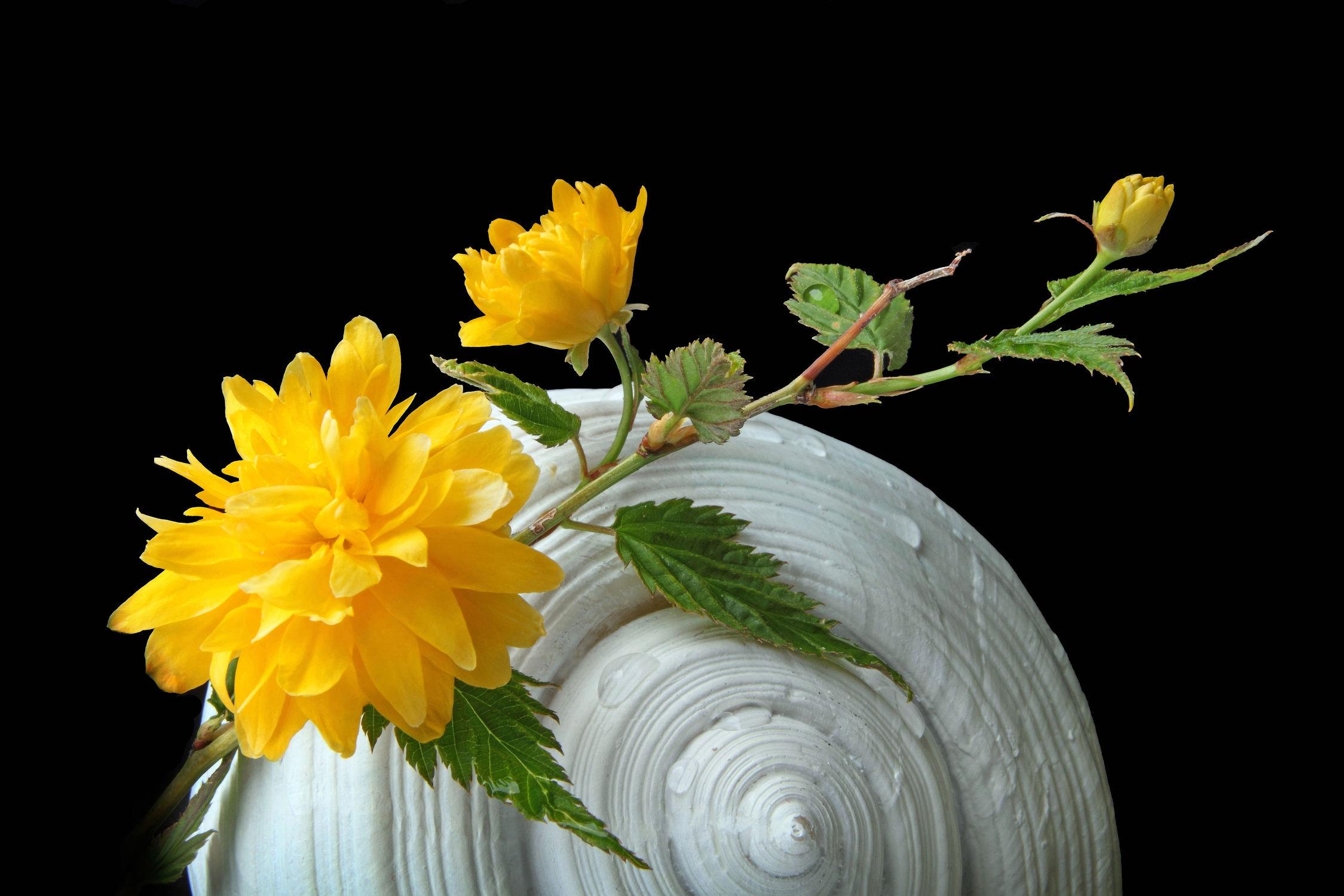 Bild mit Pflanzen, Blumen, Blume, Pflanze, Muschel, Wassertropfen, Floral, Blüten, Florales, blüte, Ranunkel