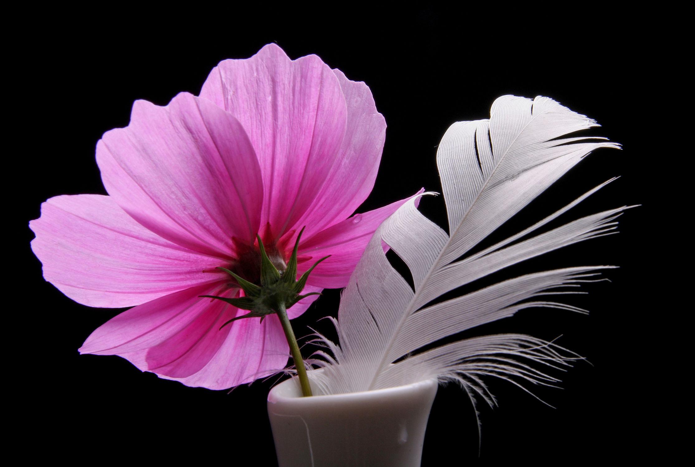 Bild mit Pflanzen, Blumen, Blume, Pflanze, Floral, Flora, cosmea, Blüten, Florales, blüte, Feder