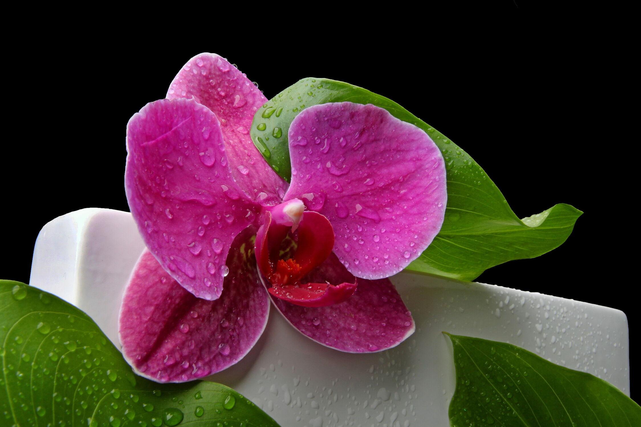 Bild mit Blumen, Orchideen, Blume, Orchidee, Wassertropfen, Regentropfen, Tropfen, Floral, blütenkompositionen, Florales, blüte, Regen, vase