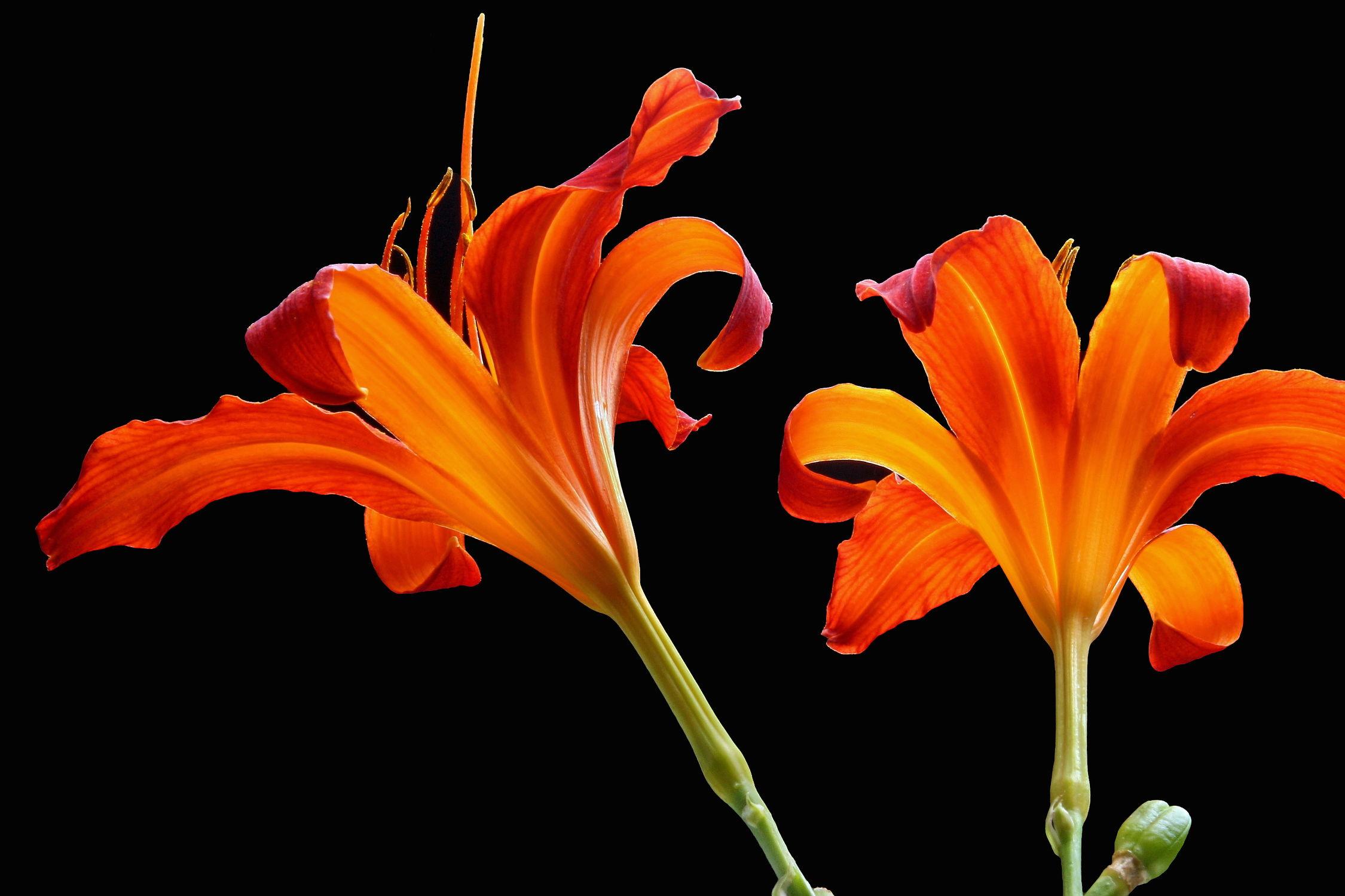 Bild mit Natur, Pflanzen, Blumen, Blume, Pflanze, Lilie, Lilien, Floral, Blüten, Florales, blüte