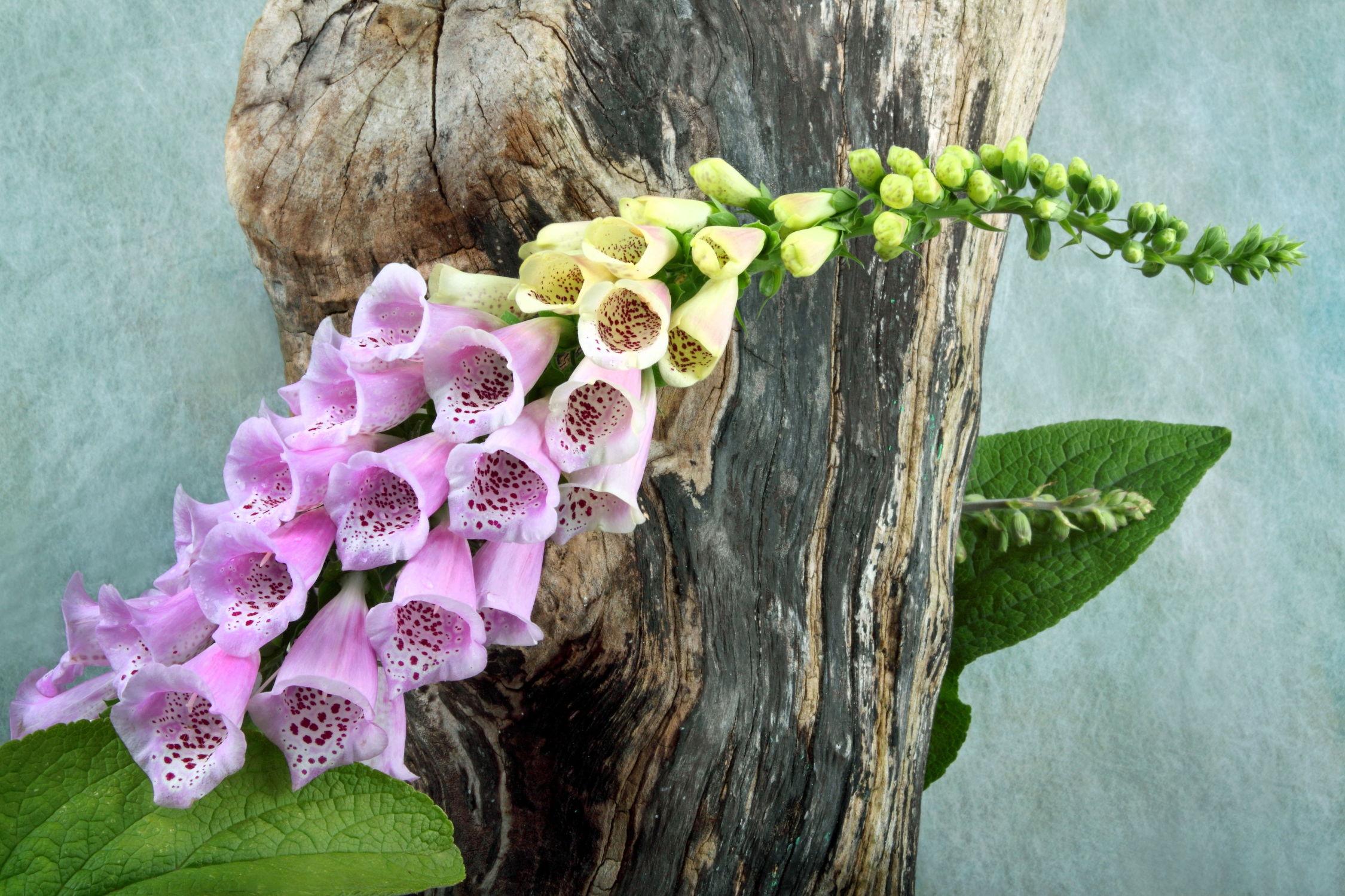 Bild mit Pflanzen, Blumen, Baum, Blume, Pflanze, Fauna, Floral, Flora, Blüten, Florales, garten, blüte, fingerhüte, fingerhut