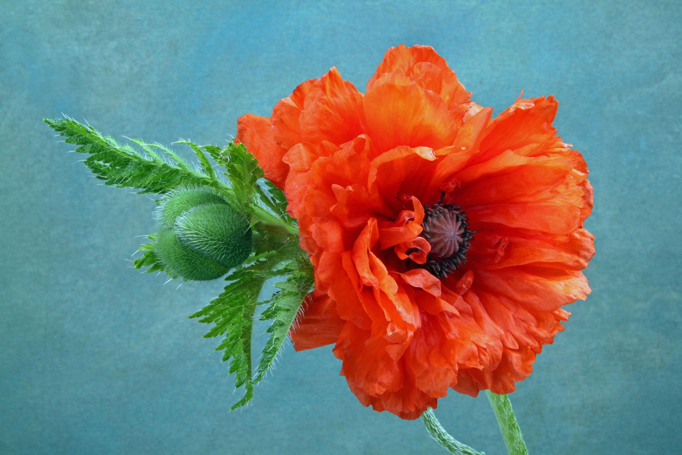 Bild mit Natur, Pflanzen, Blumen, Mohn, Blume, Pflanze, Mohnblüte, Floral, Blüten, Florales, blüte