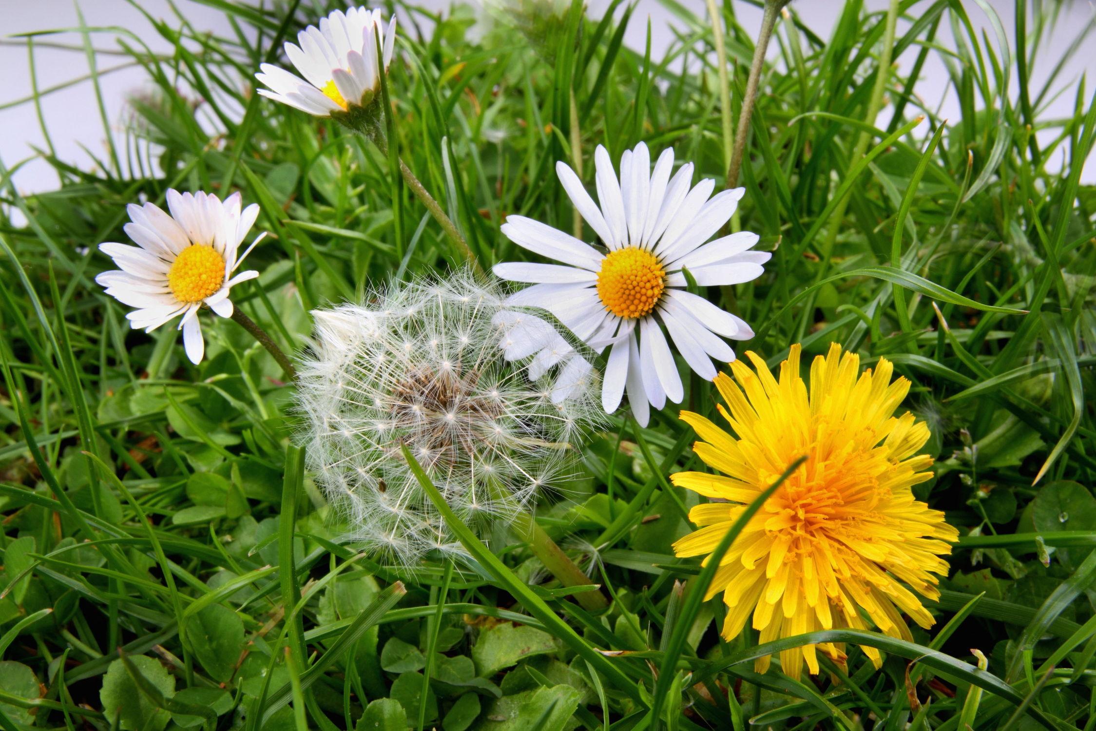 Bild mit Natur, Blumen, Blume, Gras, Wiese, Löwenzahn, Pusteblume, Fauna, Floral, Flora, gänseblümchen, Florales