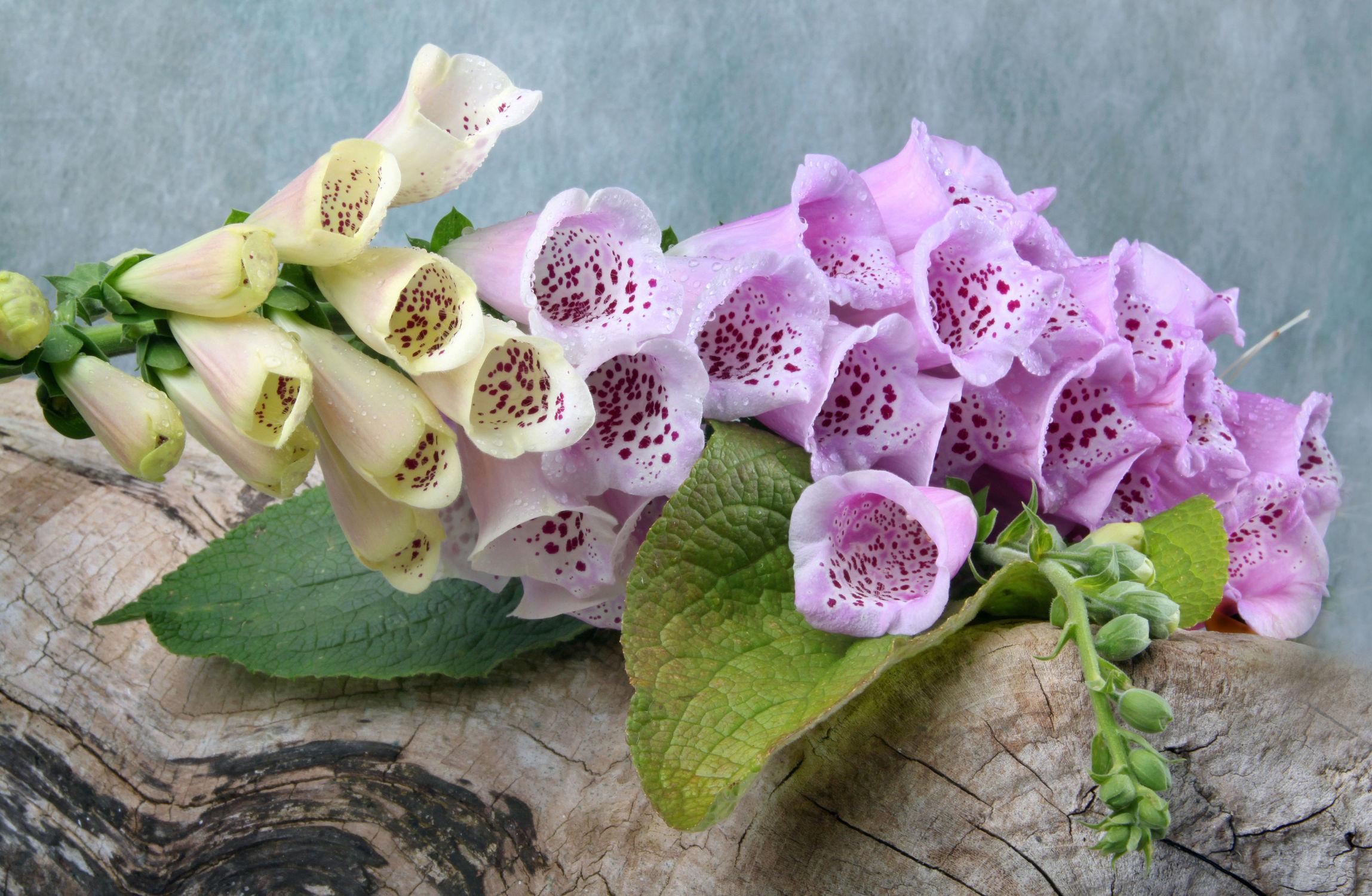 Bild mit Pflanzen, Blumen, Baum, Blume, Pflanze, Floral, Floral, Stilleben, Blüten, Florales, blüte, fingerhüte, fingerhut