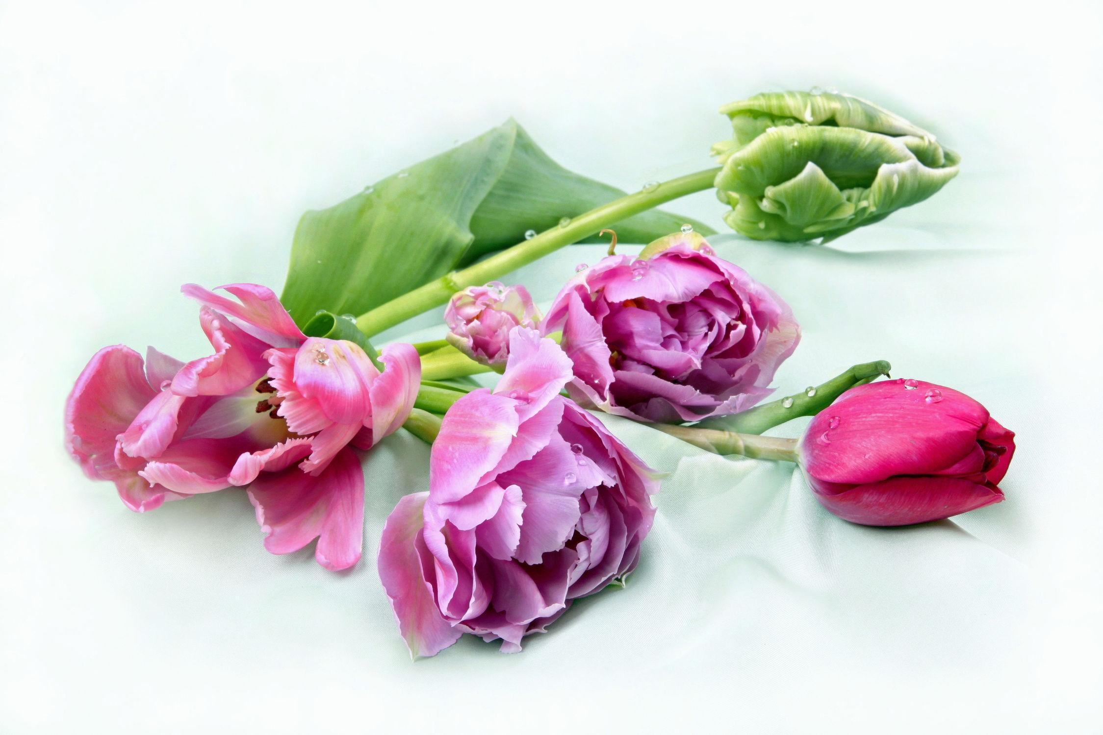Bild mit Pflanzen, Blumen, Blume, Pflanze, Tulpe, Tulpen, Floral, Blüten, Florales, Stilleben & Objekte, blüte