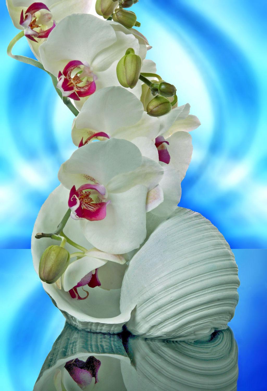 Bild mit Wasser, Pflanzen, Himmel, Blumen, Orchideen, Blume, Orchidee, Pflanze, Muschel, Muscheln, Spiegelung, Floral, Stilleben, Blüten, Florales, blüte, weich