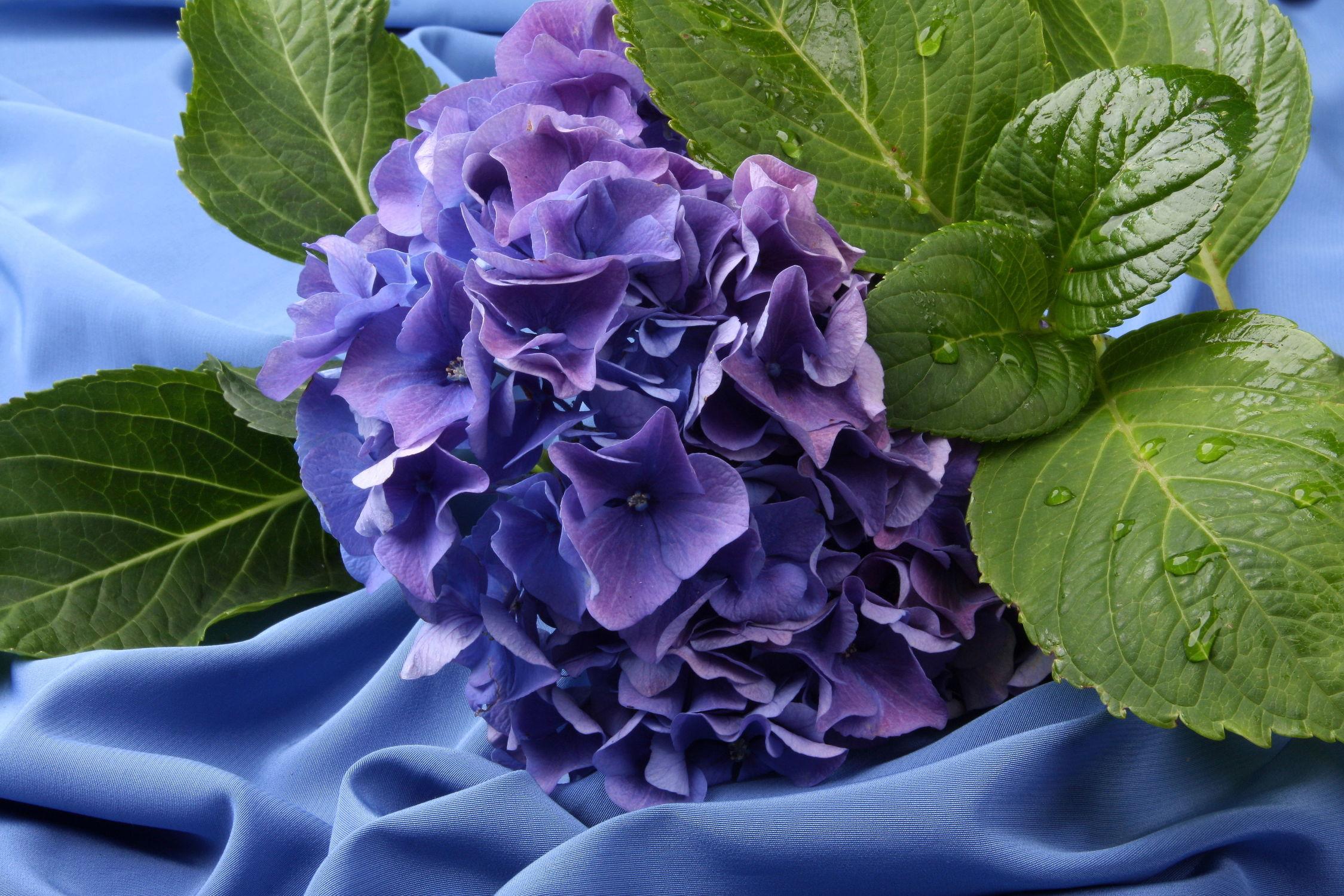 Bild mit Natur, Pflanzen, Blumen, Lila, Blätter, Blume, Pflanze, Blatt, Floral, hortensien, Stilleben, Blüten, Florales, blüte, Hortensie