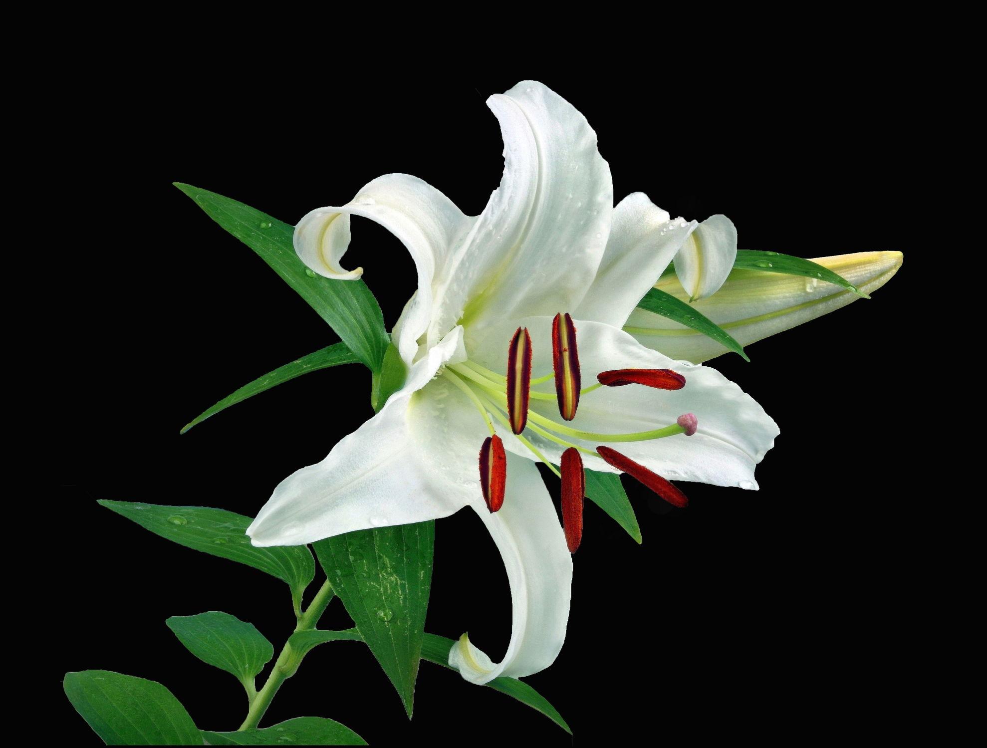 Bild mit Pflanzen, Blumen, Blume, Pflanze, Lilie, Lilien, Floral, Stilleben, Florales, blüte, blüte