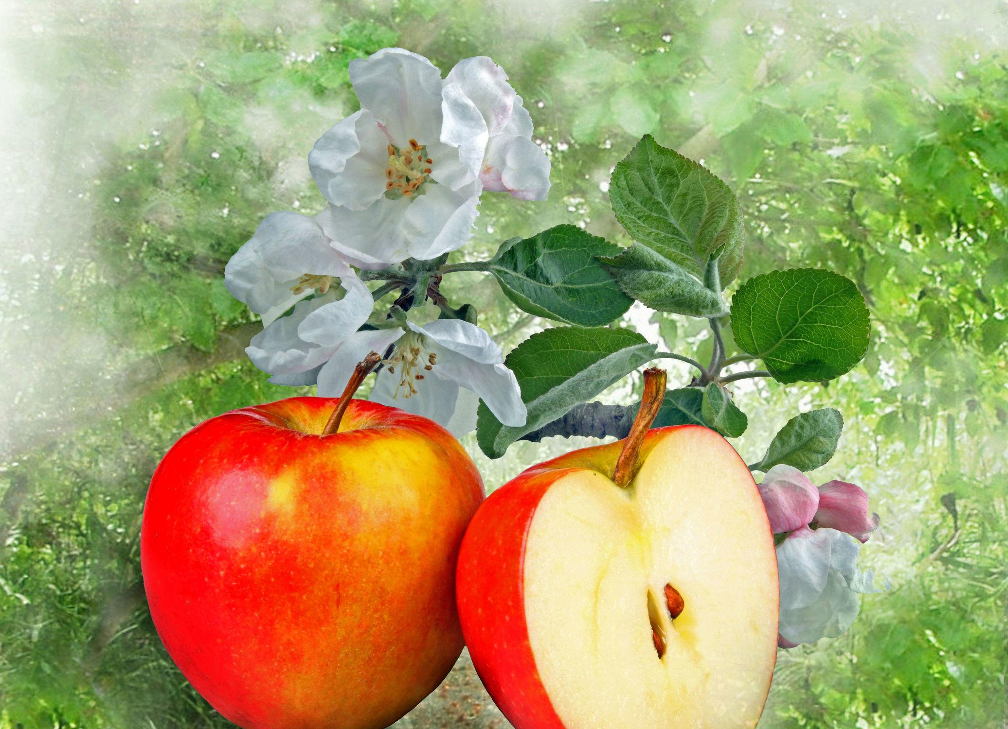 Bild mit Natur, Natur, Pflanzen, Bäume, Früchte, Baum, Frucht, Obst, Pflanze, Apfel, Apfel, Blüten, garten, blüte, Apfelblüte, apfelblüten