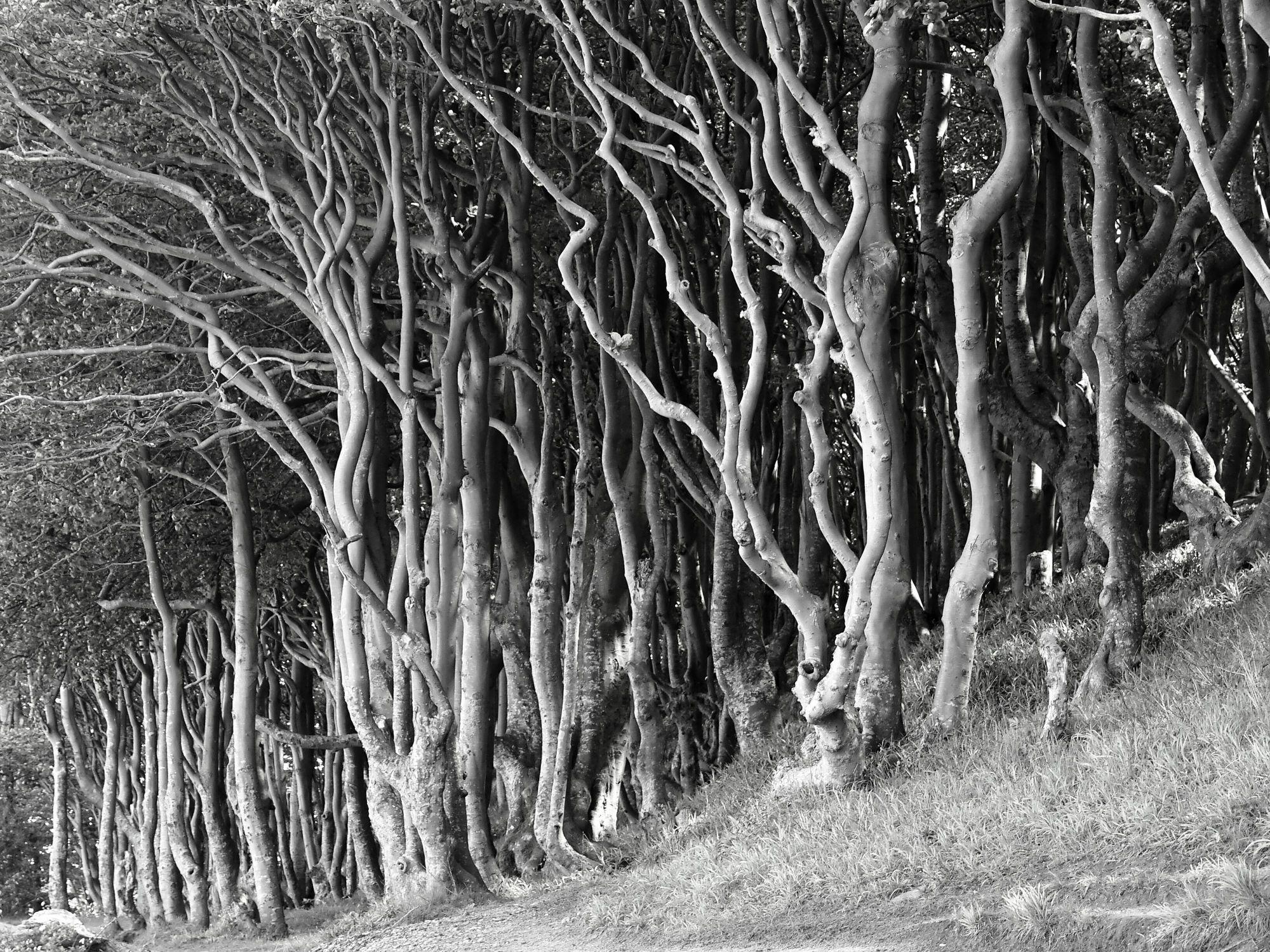 Bild mit Natur, Bäume, Wälder, Wald, Baum, Flora, schwarz weiß, mystisch, SW, Halloween, Grusel