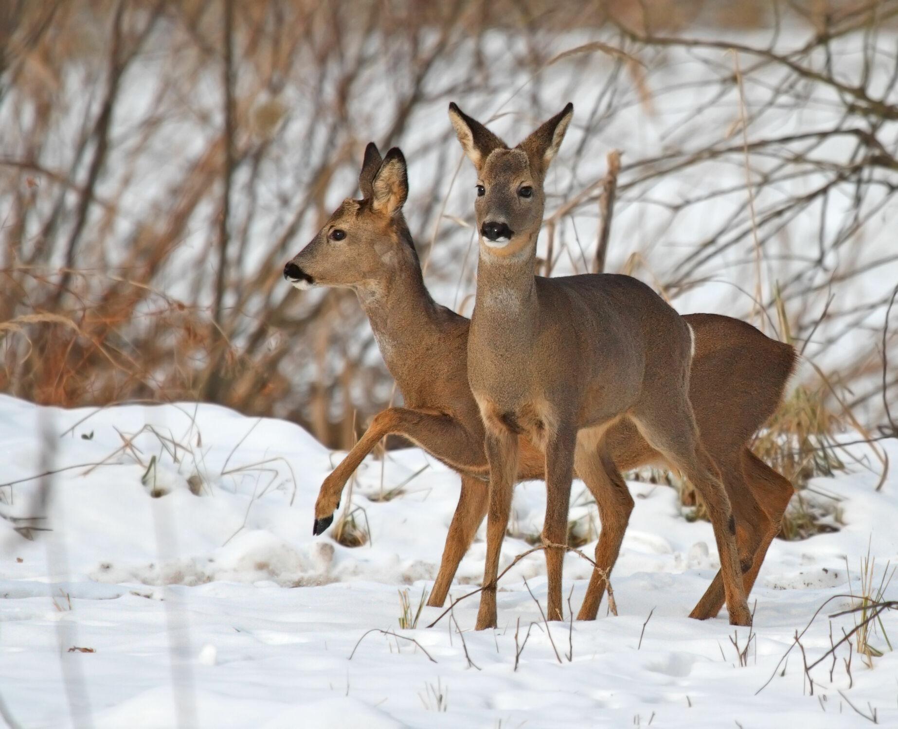 Bild mit Tiere, Winter, Schnee, Wälder, Wald, Tier, Winterlandschaften, Winterzeit, Rehkitz, Rehe, Reh, waldtiere