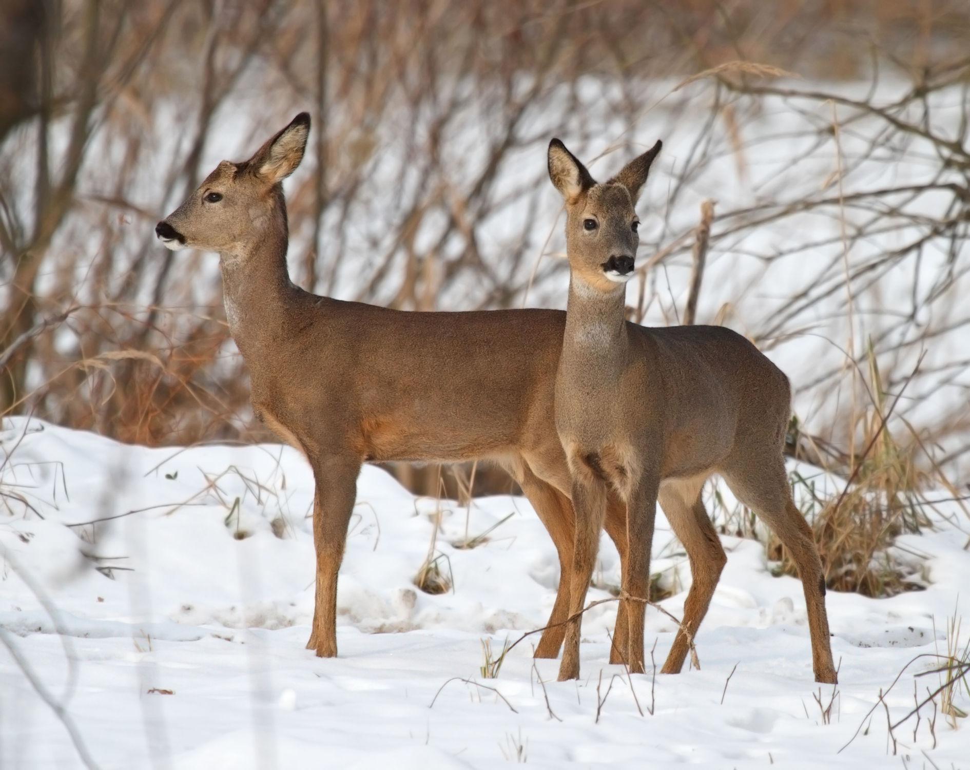 Bild mit Tiere, Winter, Tier, Wildtiere, Wild, Rehe, Reh