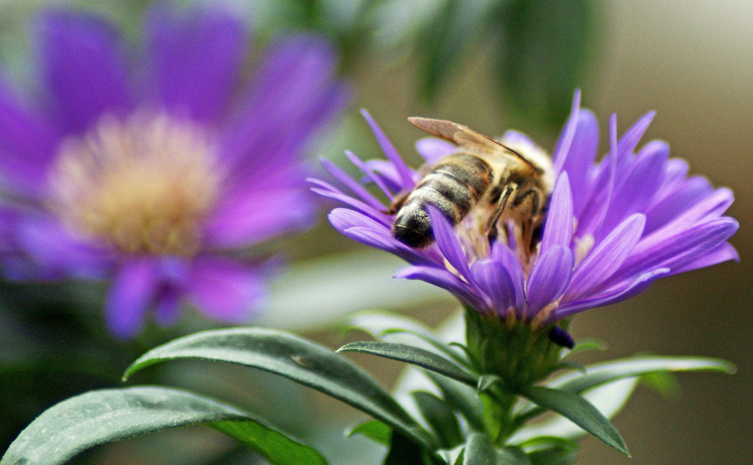 Bild mit Natur, Blumen, Bienen, Astern, Blume, Blüten, blüte, Biene, ASTER