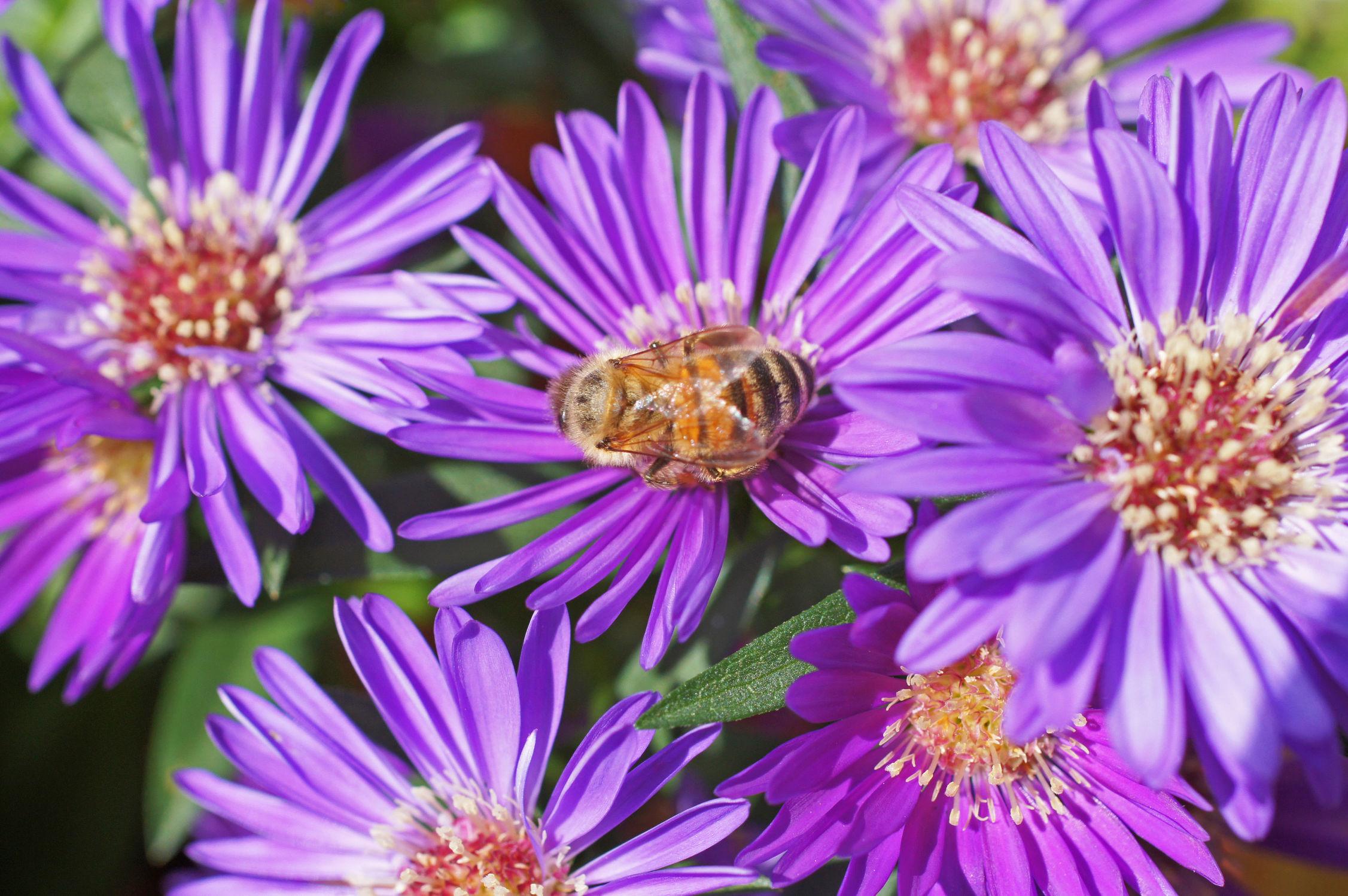 Bild mit Blumen, Astern, Blume, Blüten, blüte, ASTER