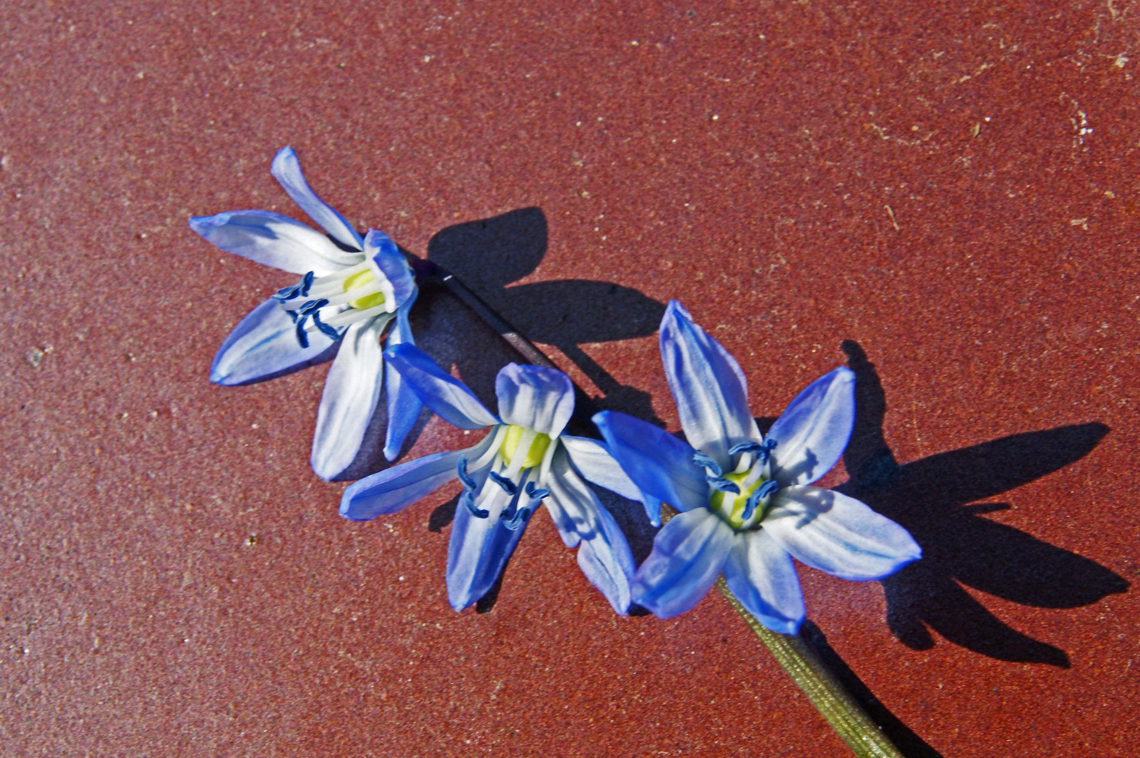 Bild mit Blumen, Blume, frühlingsblumen, Blüten, garten, blüte, blaustern
