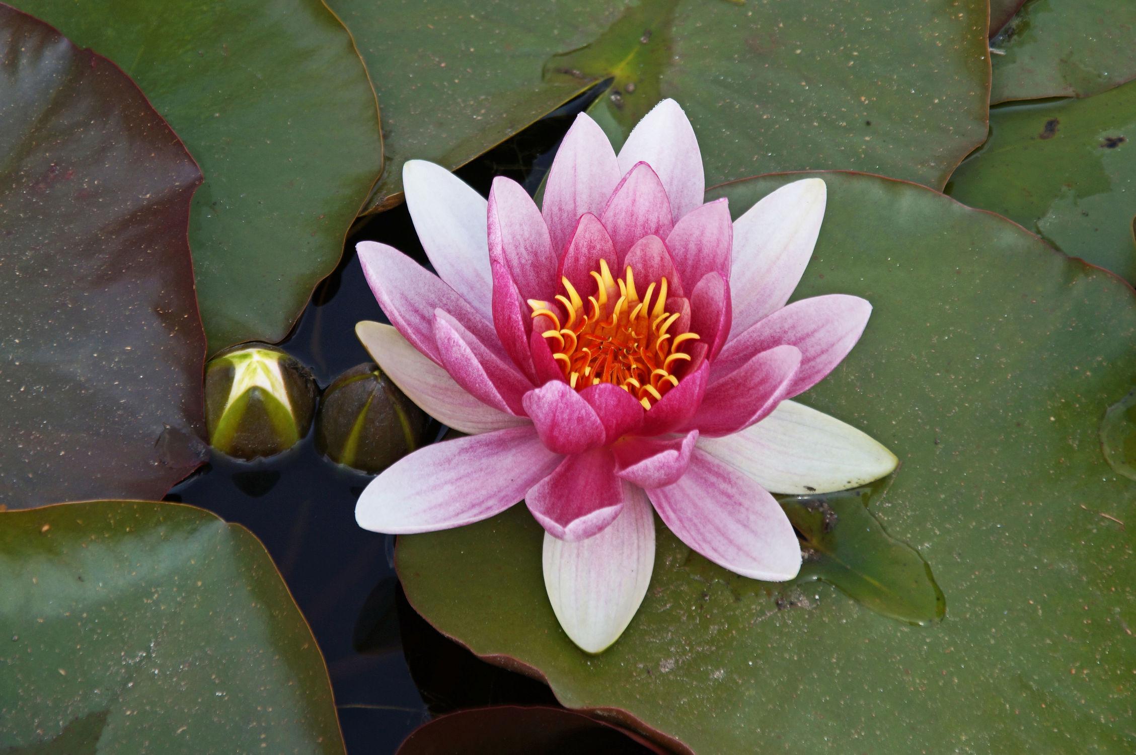 Bild mit Natur, Wasser, Seen, Rosen, Rose, See, Teich, Seerosen, Blüten, blüte, Seerose, Wasserlilie, wasserlilien