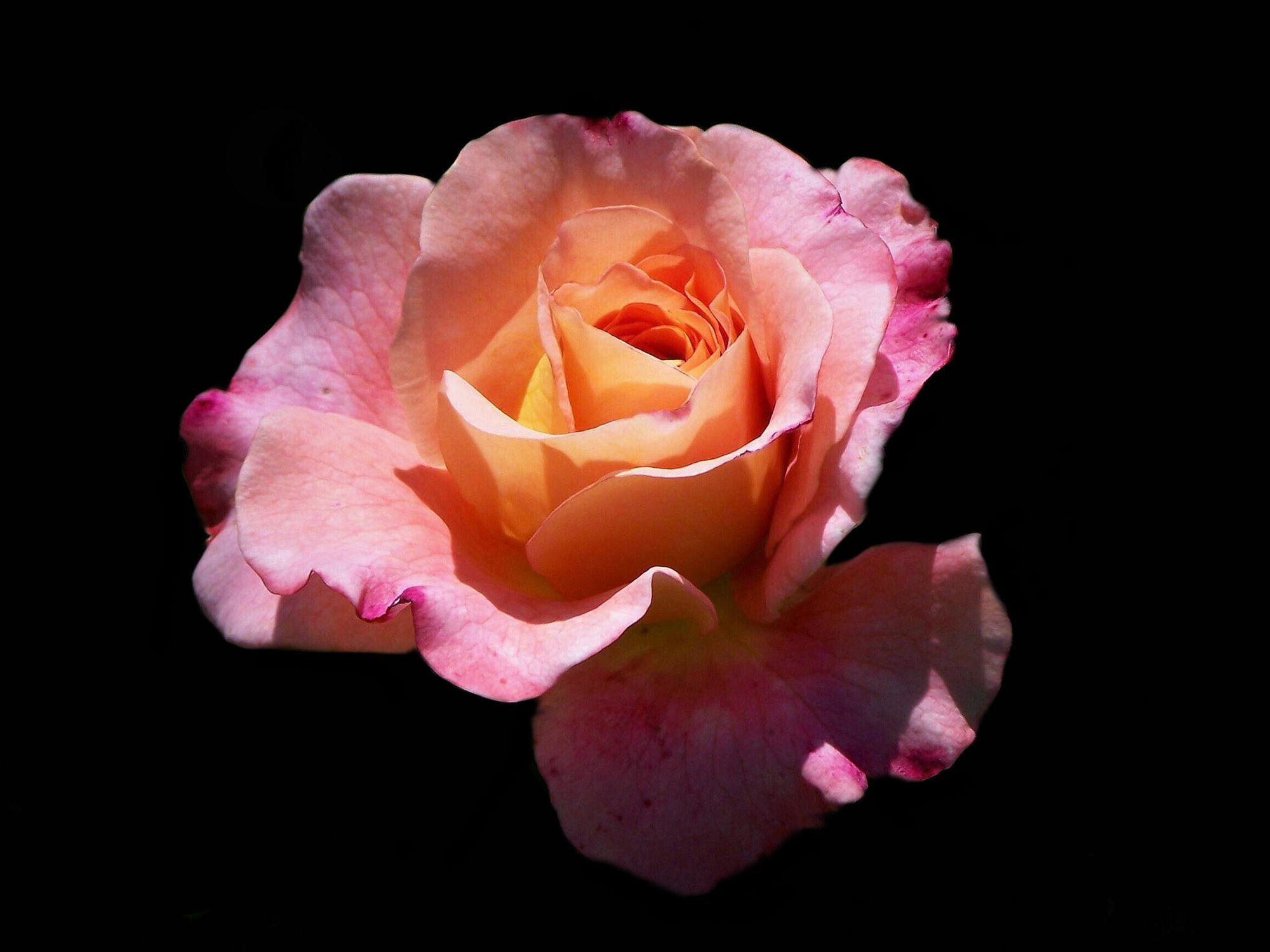 Bild mit Natur, Pflanzen, Rosen, Pflanze, Rose, romantik, Blüten, blüte, Liebe, Knospe, Knospen
