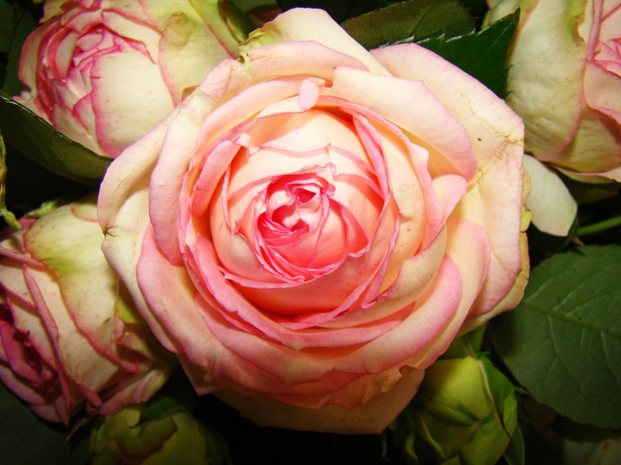 Bild mit Blumen, Rosen, Blume, Rose, romantik, Blüten, blüte, Liebe, Love
