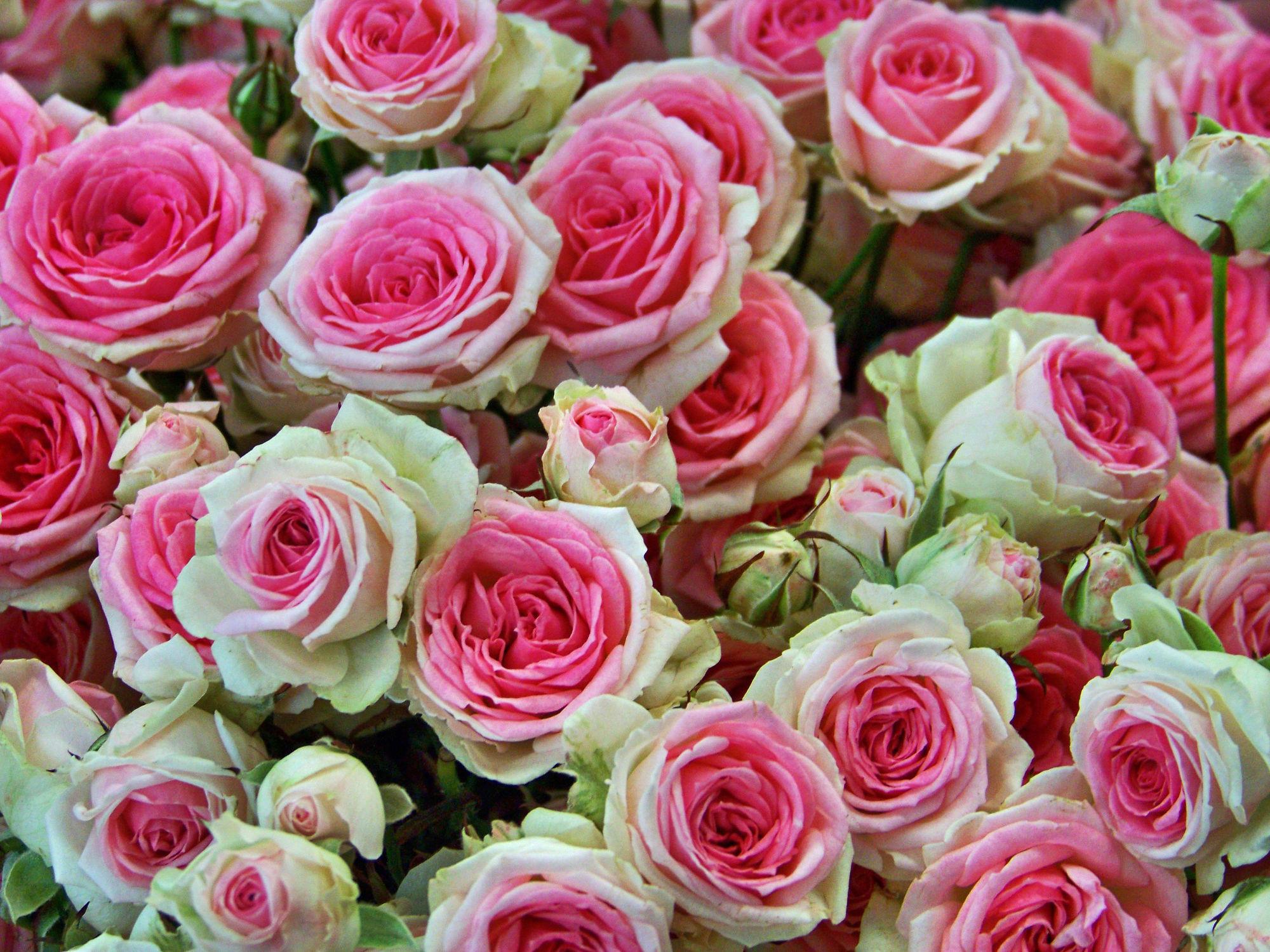 Bild mit Rosa, Rosen, Pflanze, Pflanze, Rose, romantik, Blüten, blüte, Liebe, Love, rosenblüten
